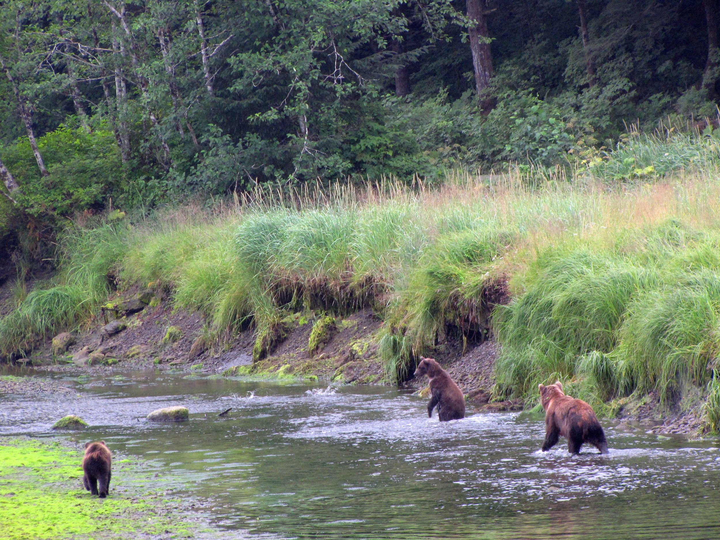 A family of brown bears fishing for pink salmon along a stream in the Tongass National Forest.