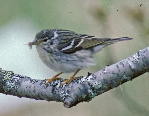Blackpoll Warbler. Photo by Bob Armstrong.