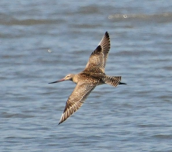 Bar-tailed Godwit. Photo by Bob Armstrong.