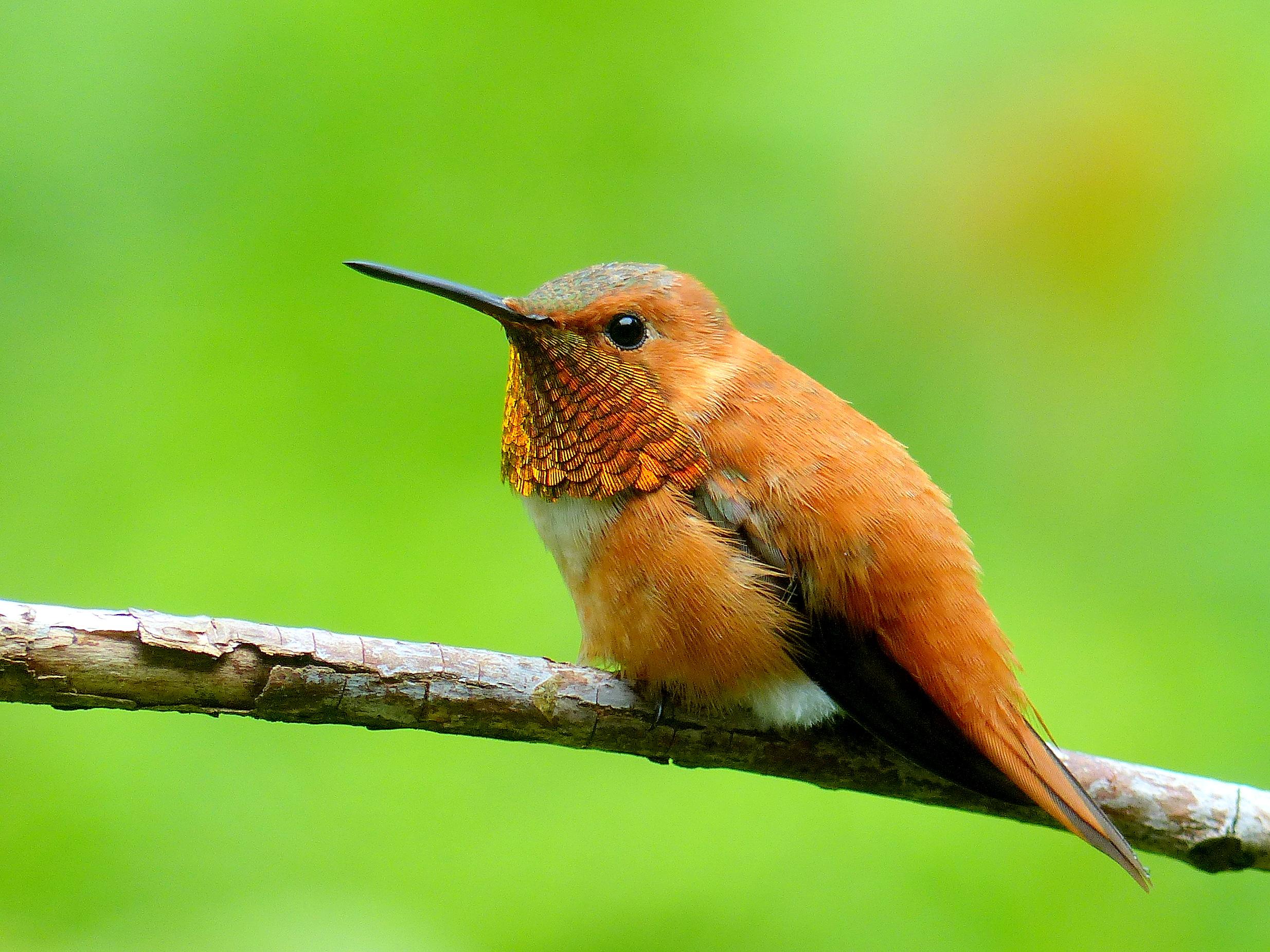 Rufous Hummingbird  P1020308.JPG