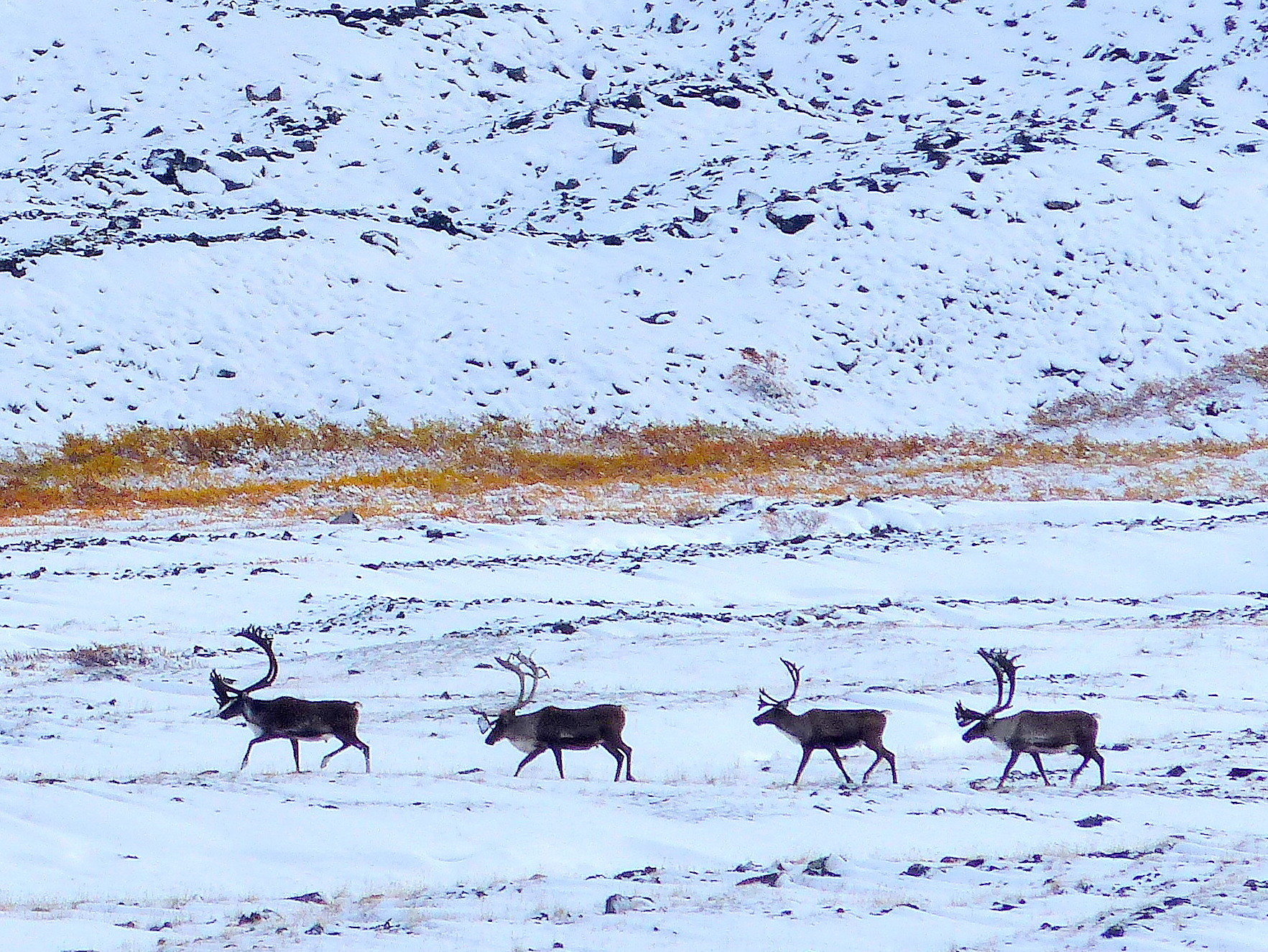 First autumn snow in arctic Alaska's caribou country.