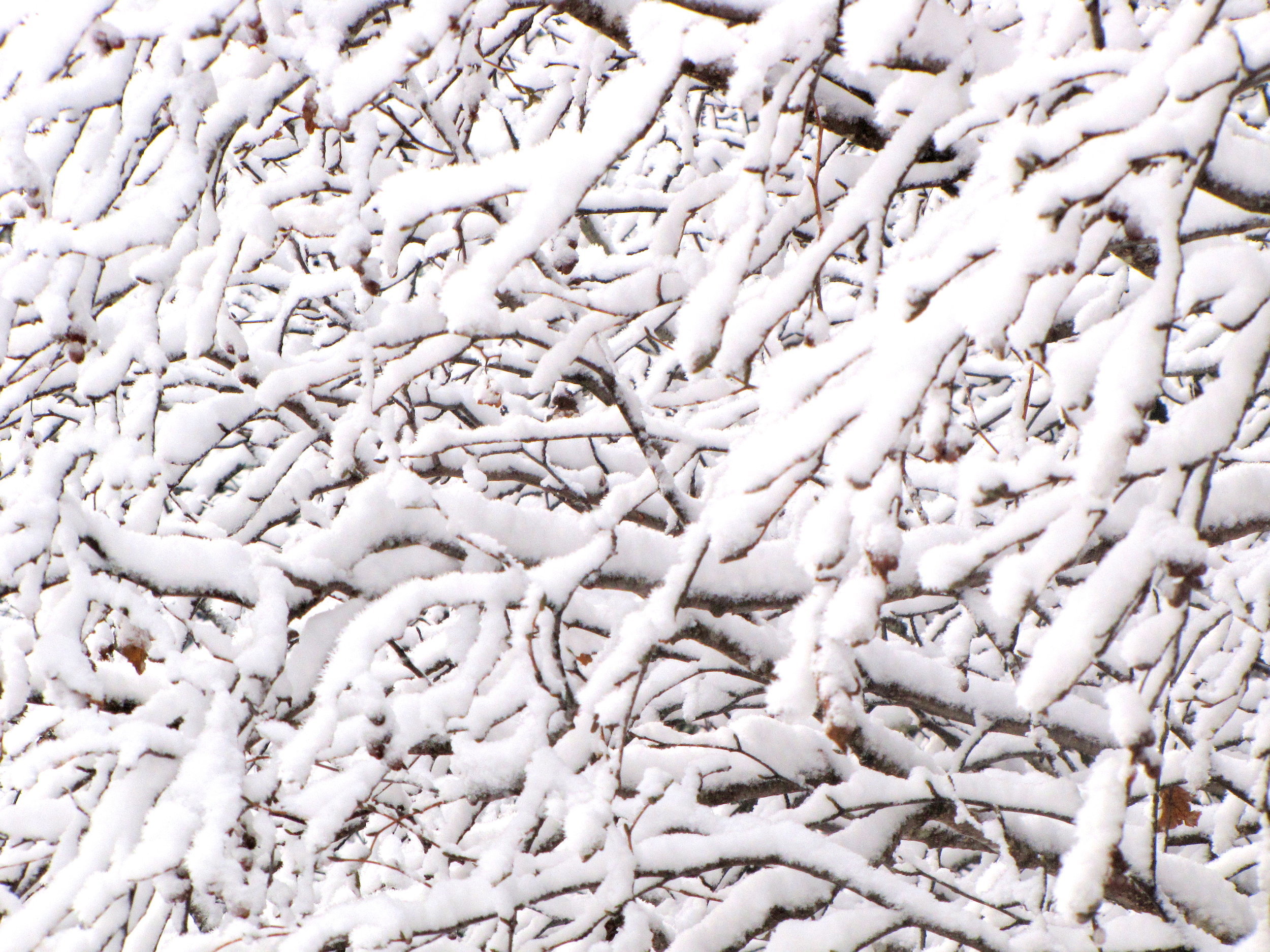 In the calm interior of Alaska, powder snow accumulates on every branch in the alder and willow thickets.