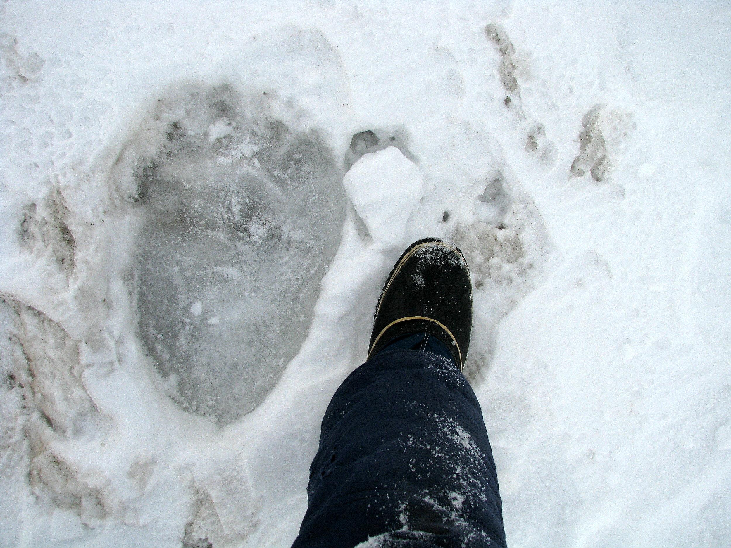 This frozen track reveals the imposing size of a polar bear, on the sea ice near Kaktovik, Arctic Alaska.