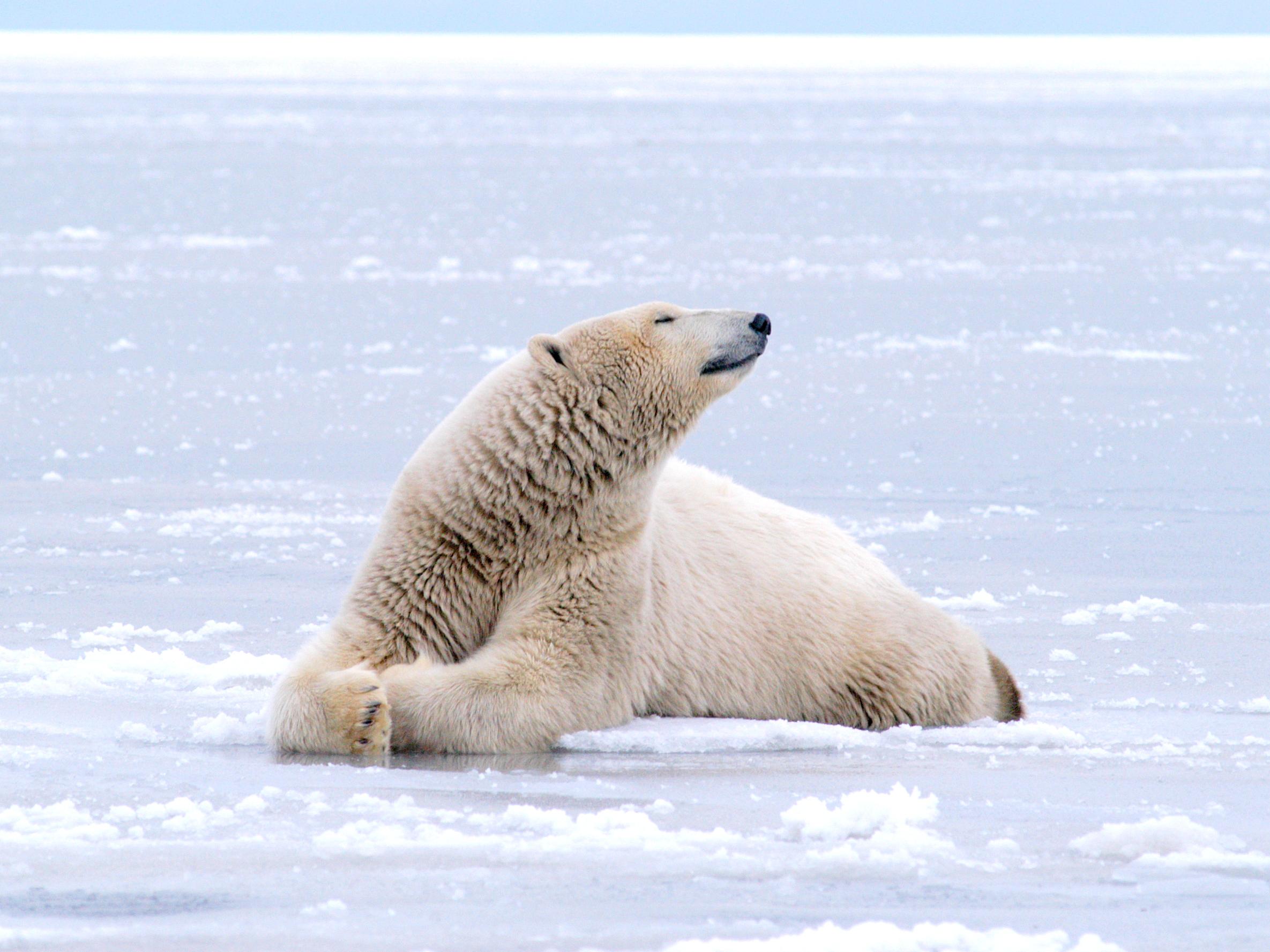 Polar Bears Kaktovik Oct 2005-081.JPG