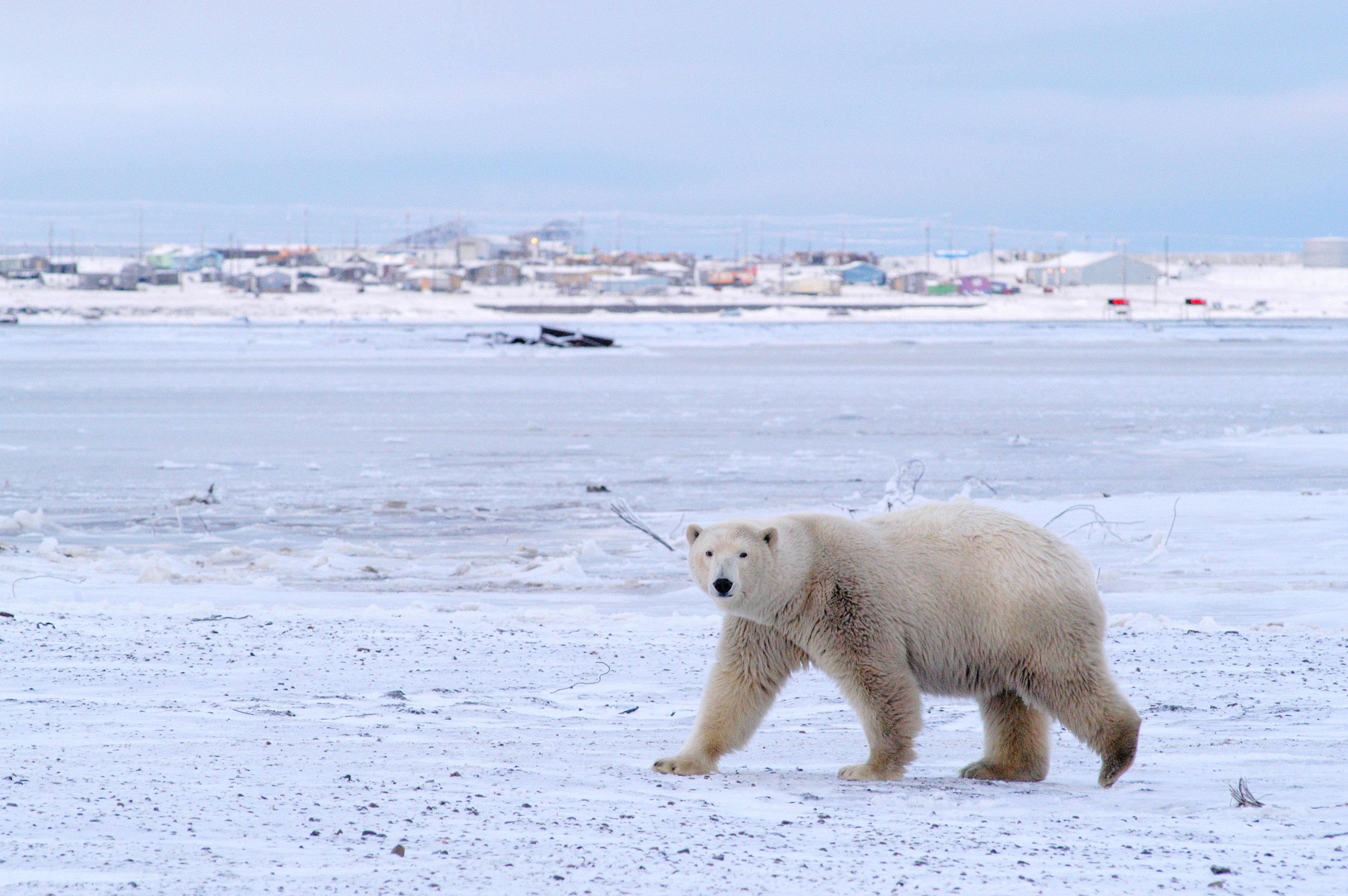 Polar Bears Kaktovik Oct 2005-071.JPG