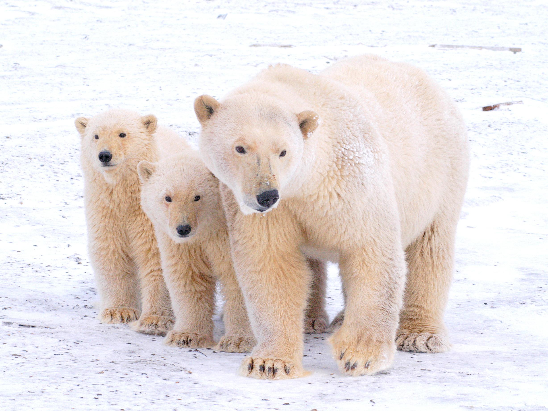 Polar Bears Kaktovik Oct 2005-133.JPG