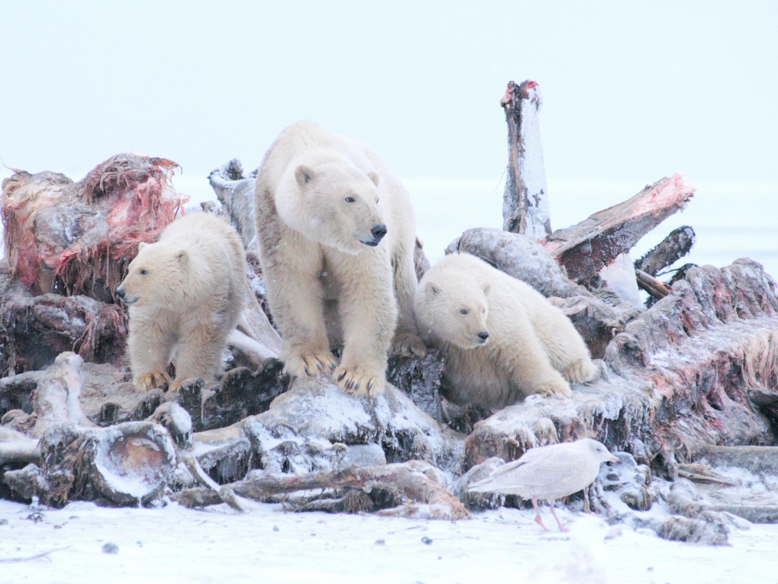 Polar Bears Kaktovik Oct 2005-122.JPG