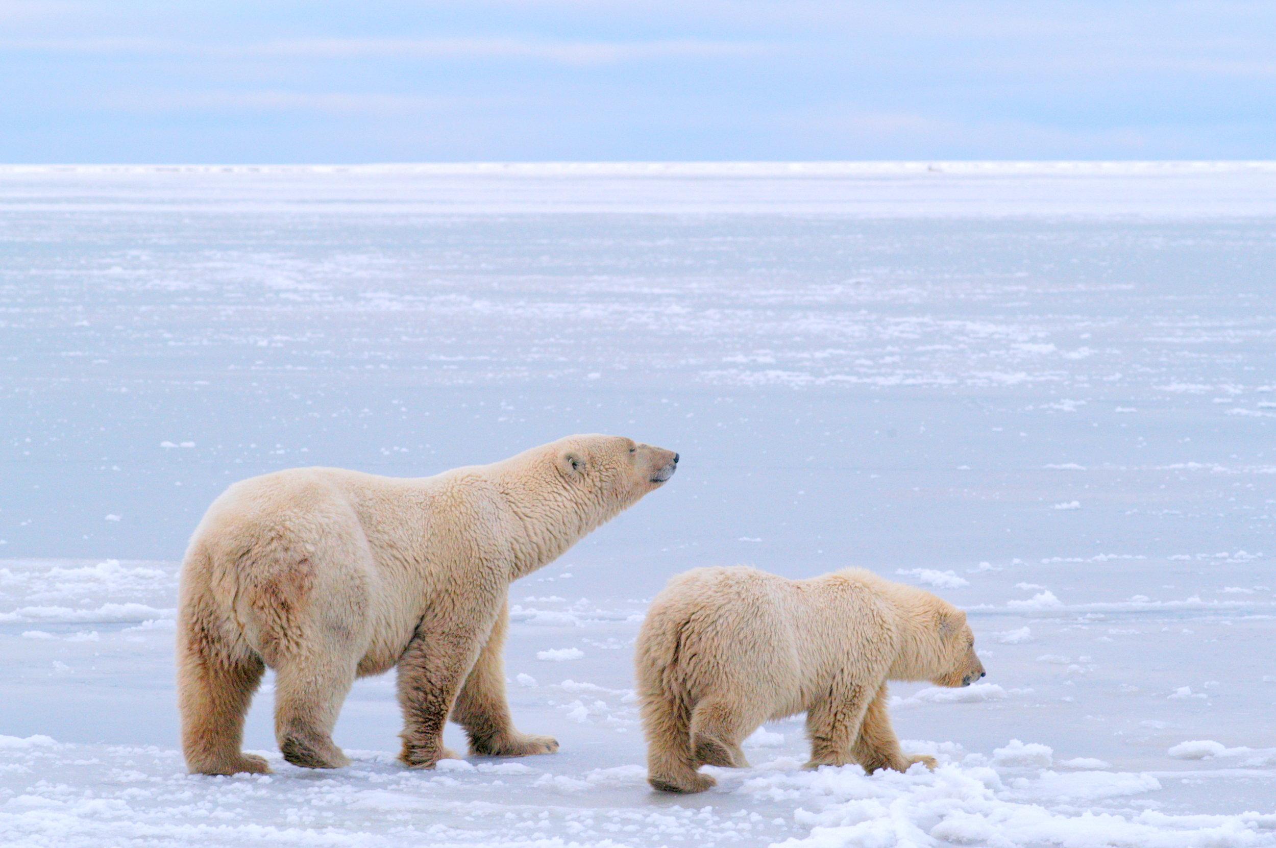 Polar Bears Kaktovik Oct 2005-065.JPG
