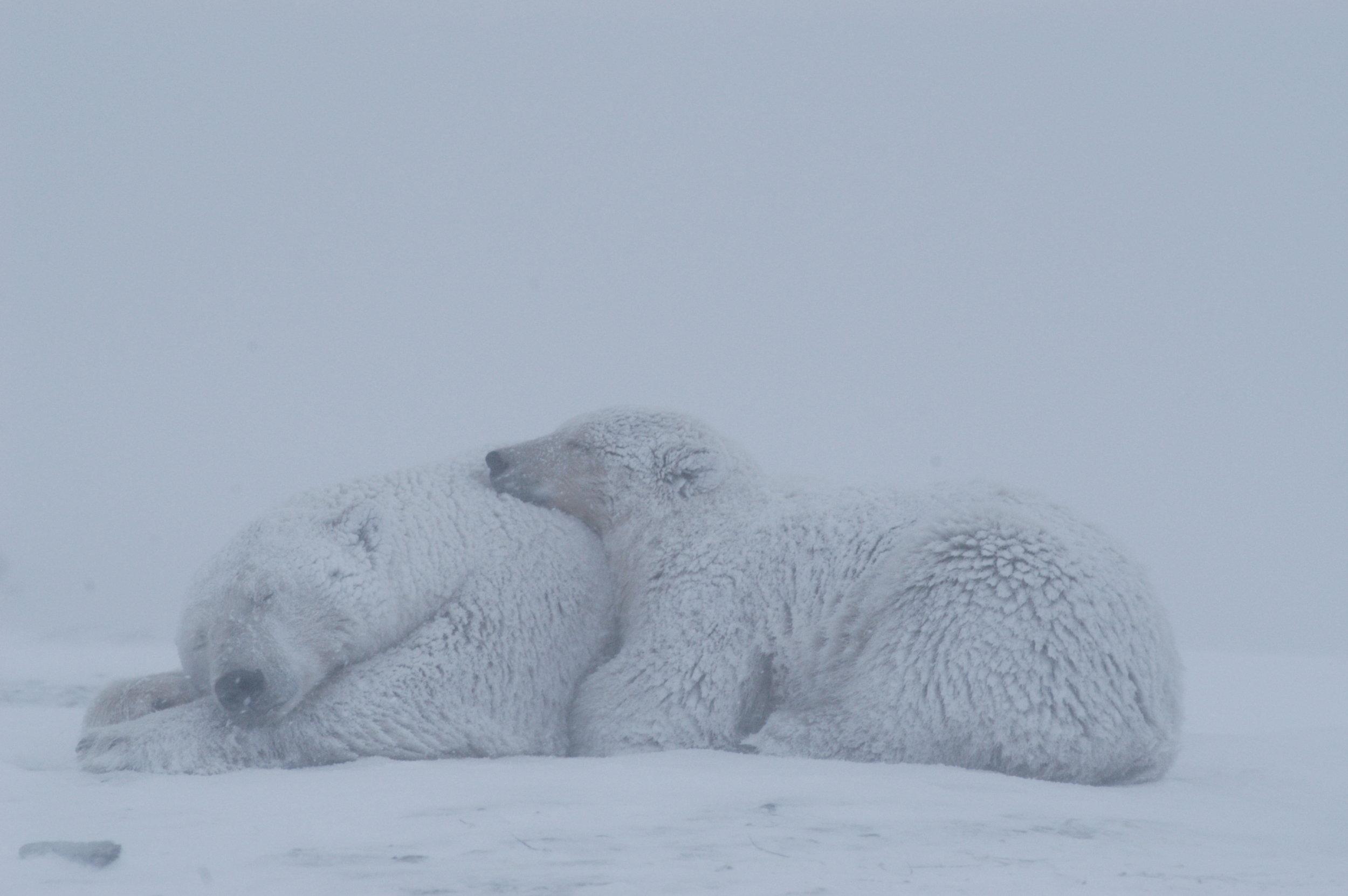 Polar Bears Kaktovik Oct 2005-236.JPG