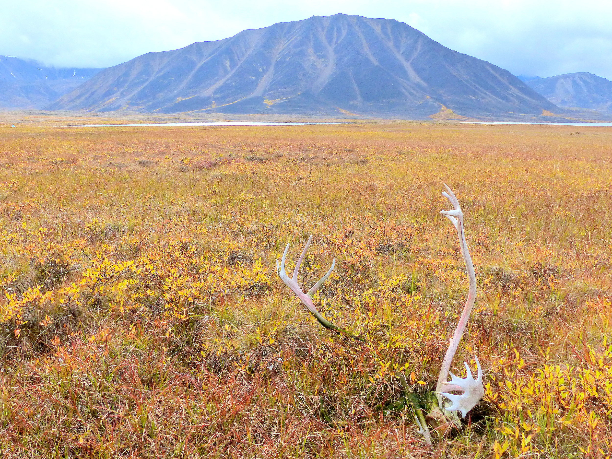 Bleached caribou antlers near an ancient hunting site in the Brooks Range, arctic Alaska.