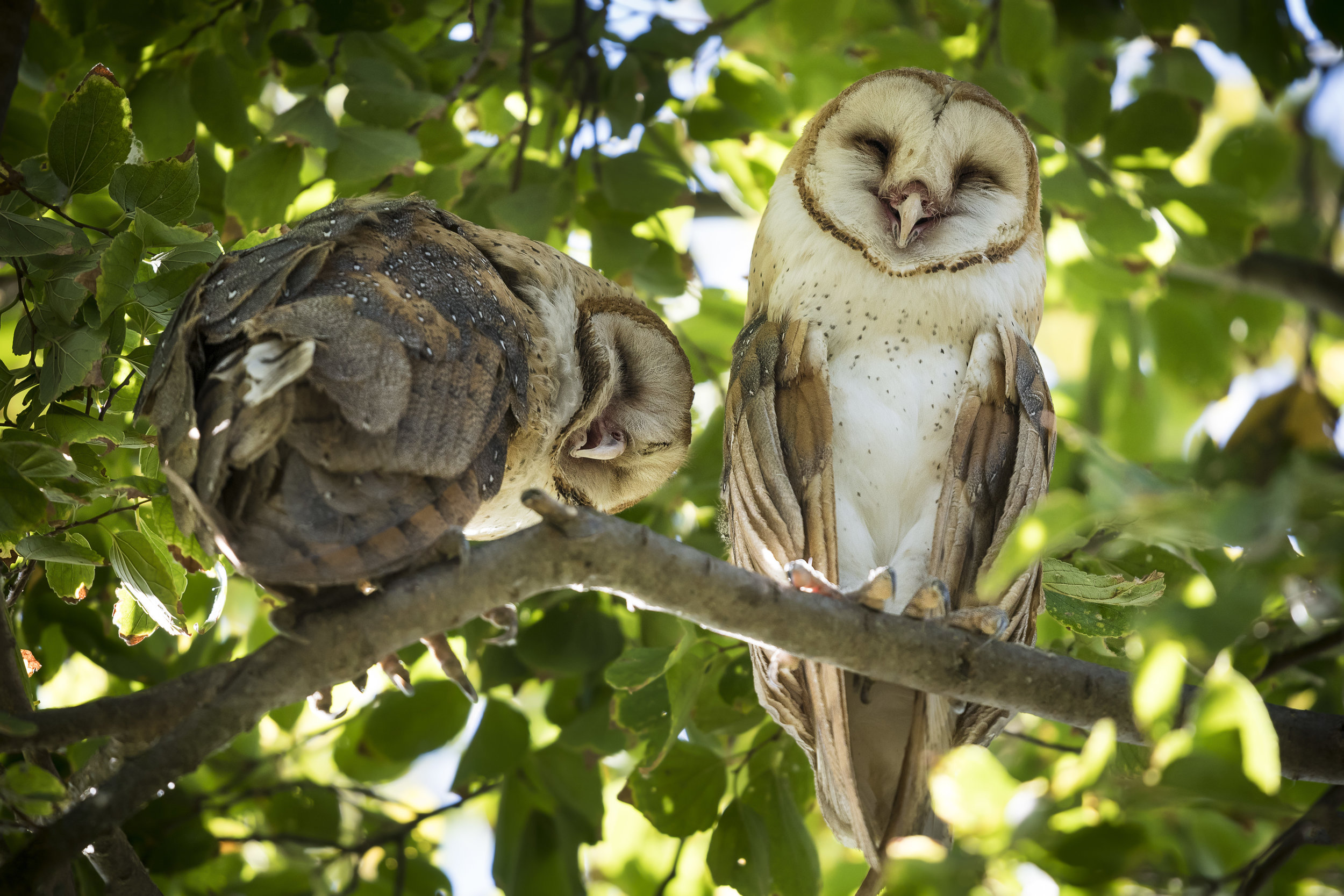 Two owls in a tree looking down at camera