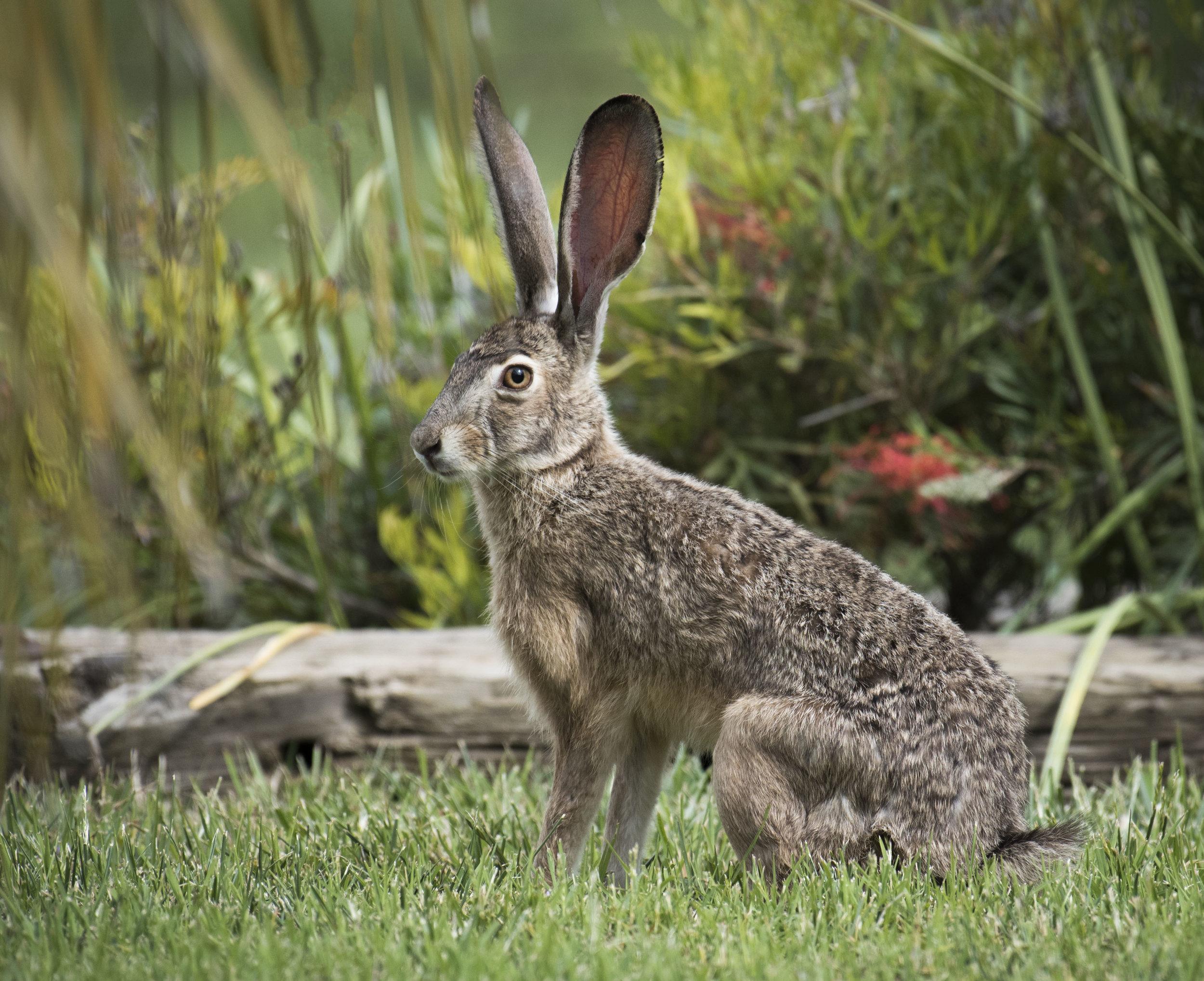 Long earred jack rabbit in grass