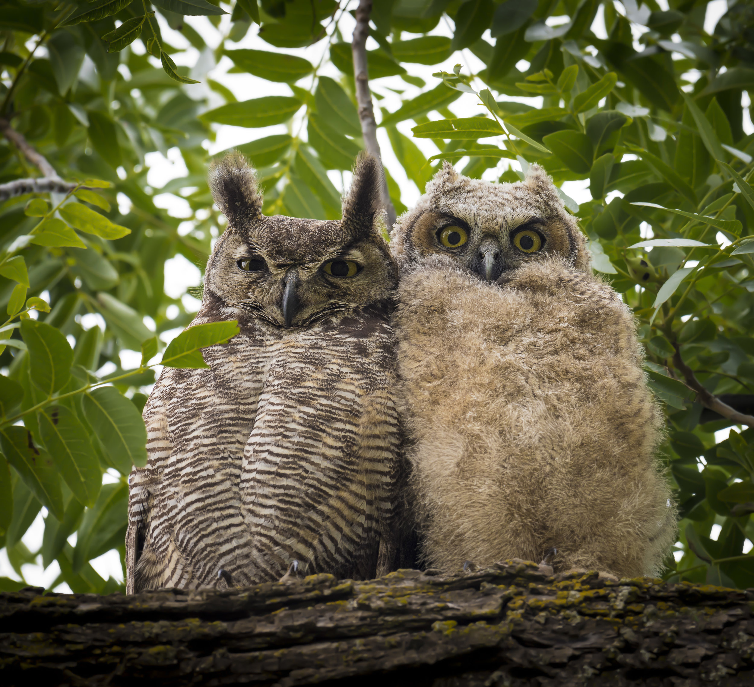 Young owl and mature owl sitting closely in a tree