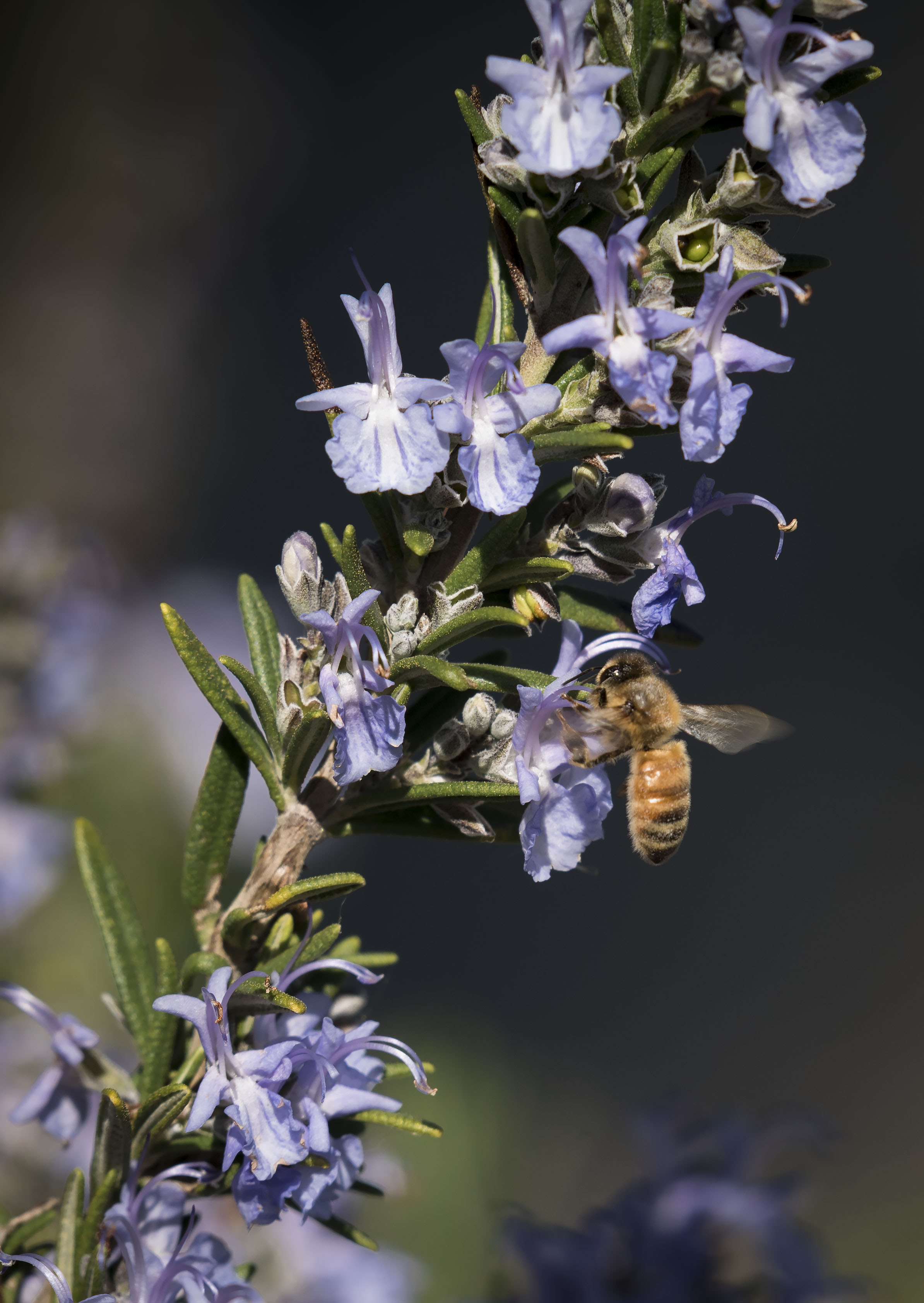 Bee next to a lavender flower