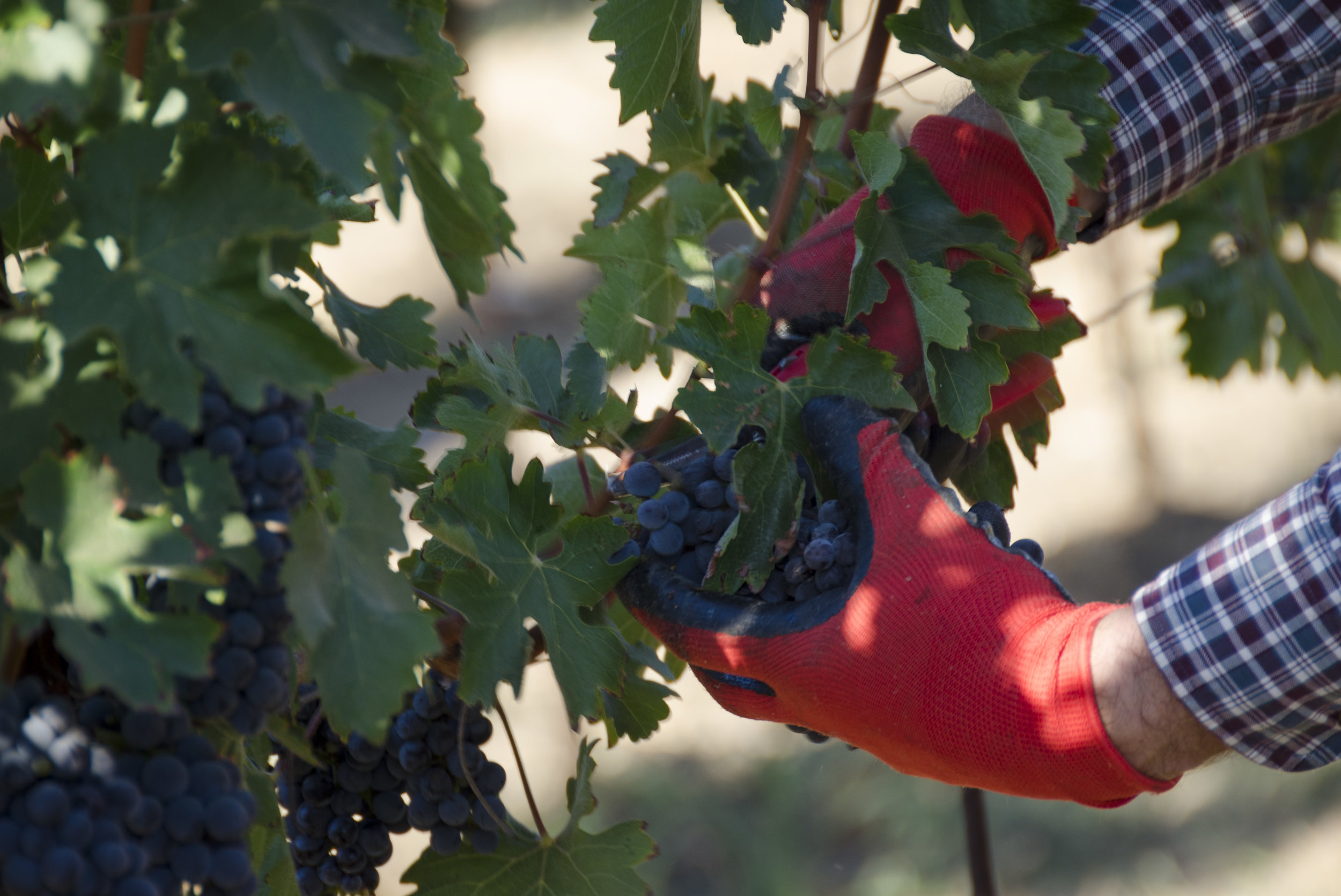 Picking Grapes by Deb Ford.jpg