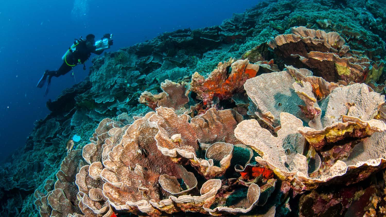 Cabagge-Coral-Banda-Island.jpg