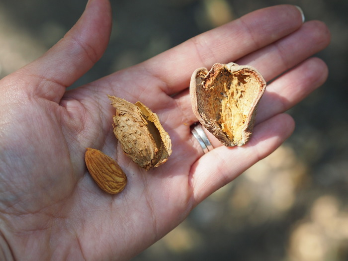 Three parts of an almond