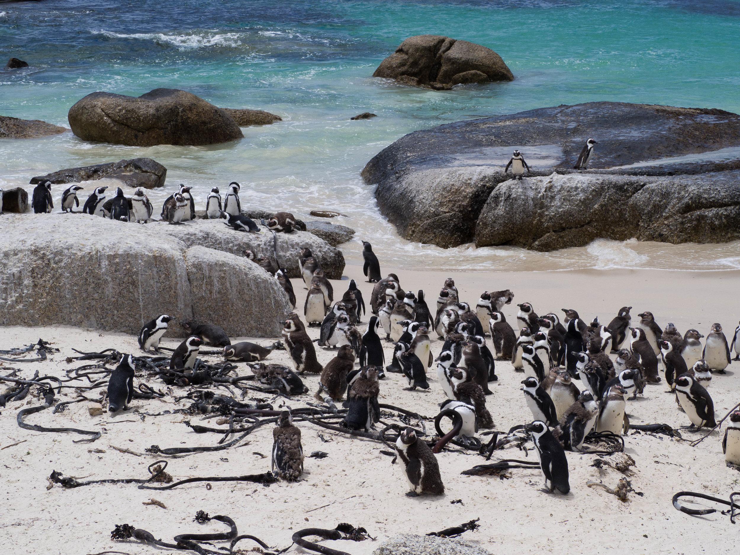African Penguins Boulders Beach