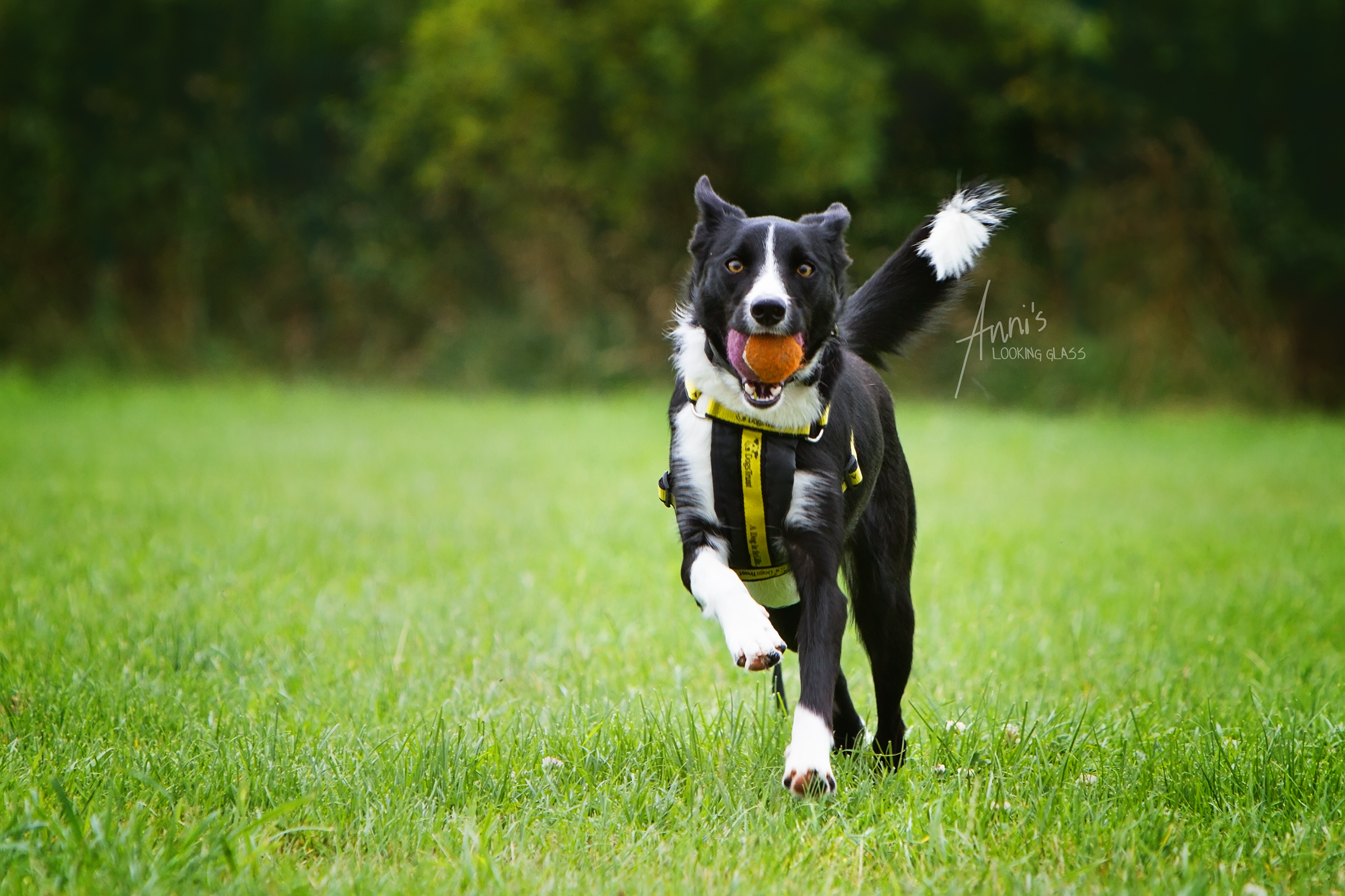 The Loughborough Dogs Trust houses between 80 and 100 dogs at any time. Lady the Collie is currently one of them.