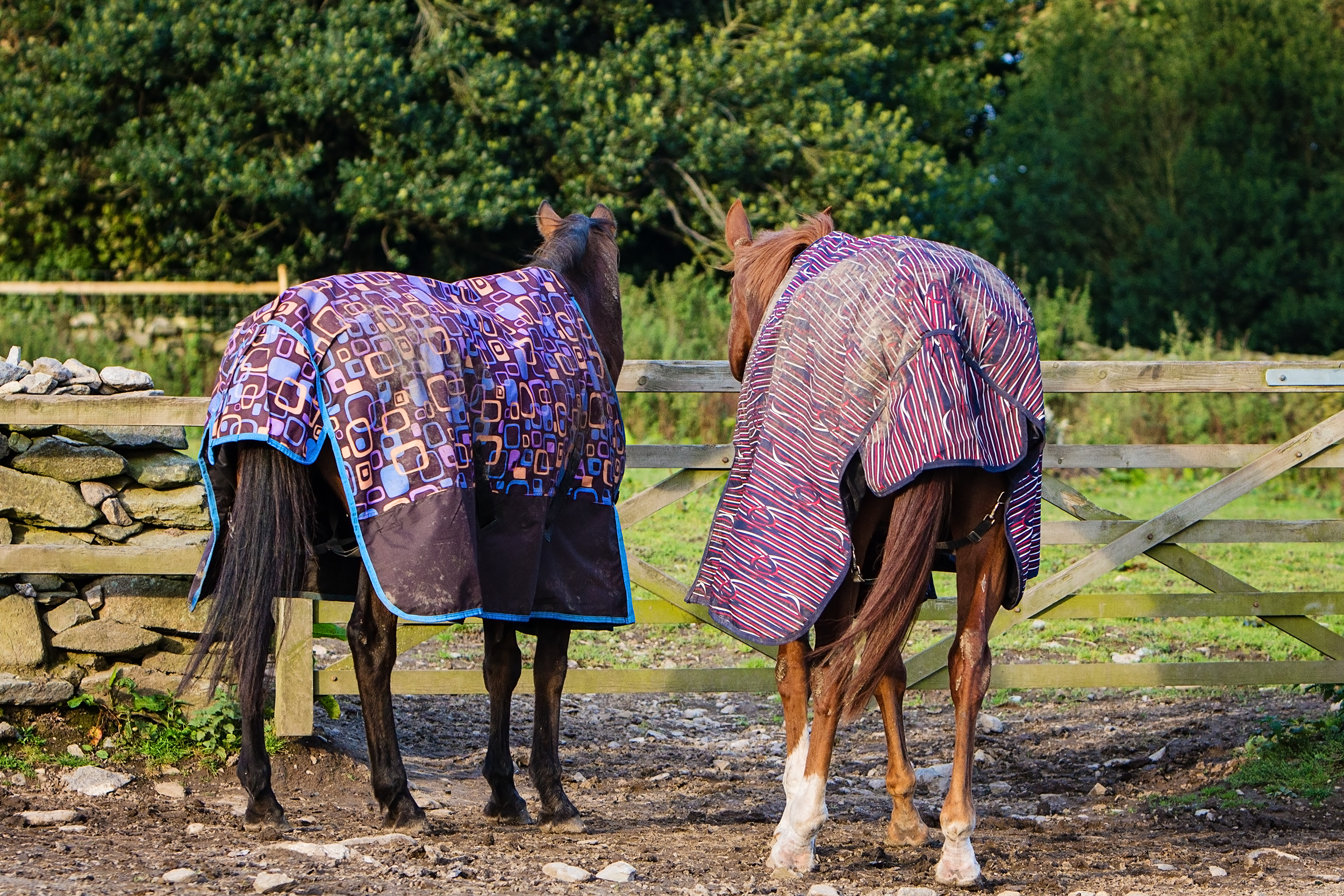 Rugs in the mid-September sun: Fashionable, indeed but not necessary for every horse.