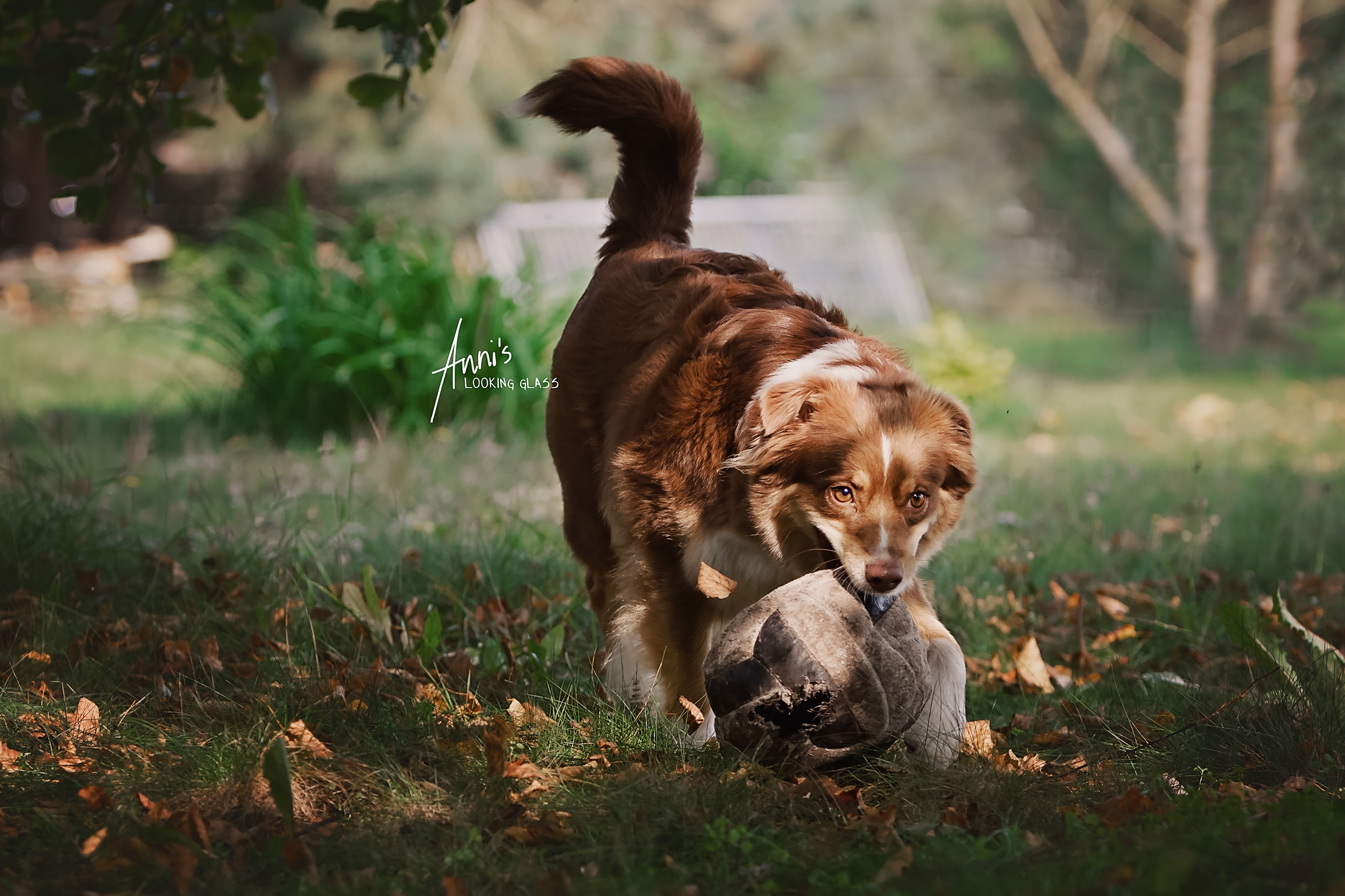 A brown and white dog carries an old football in its mouth