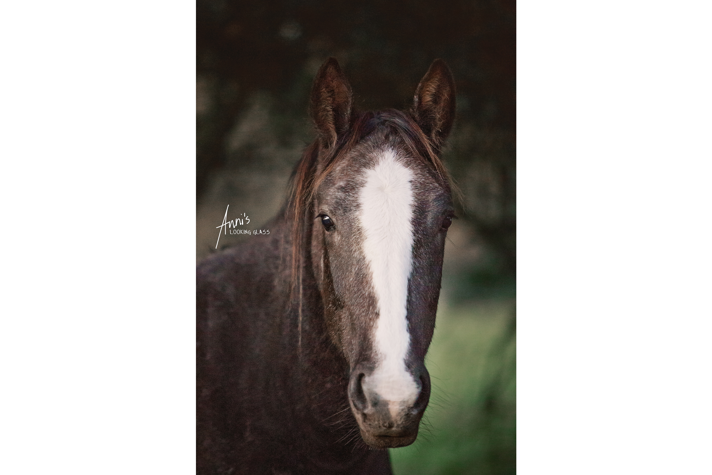 A brown horse with a white blaze looking attentively at the camera