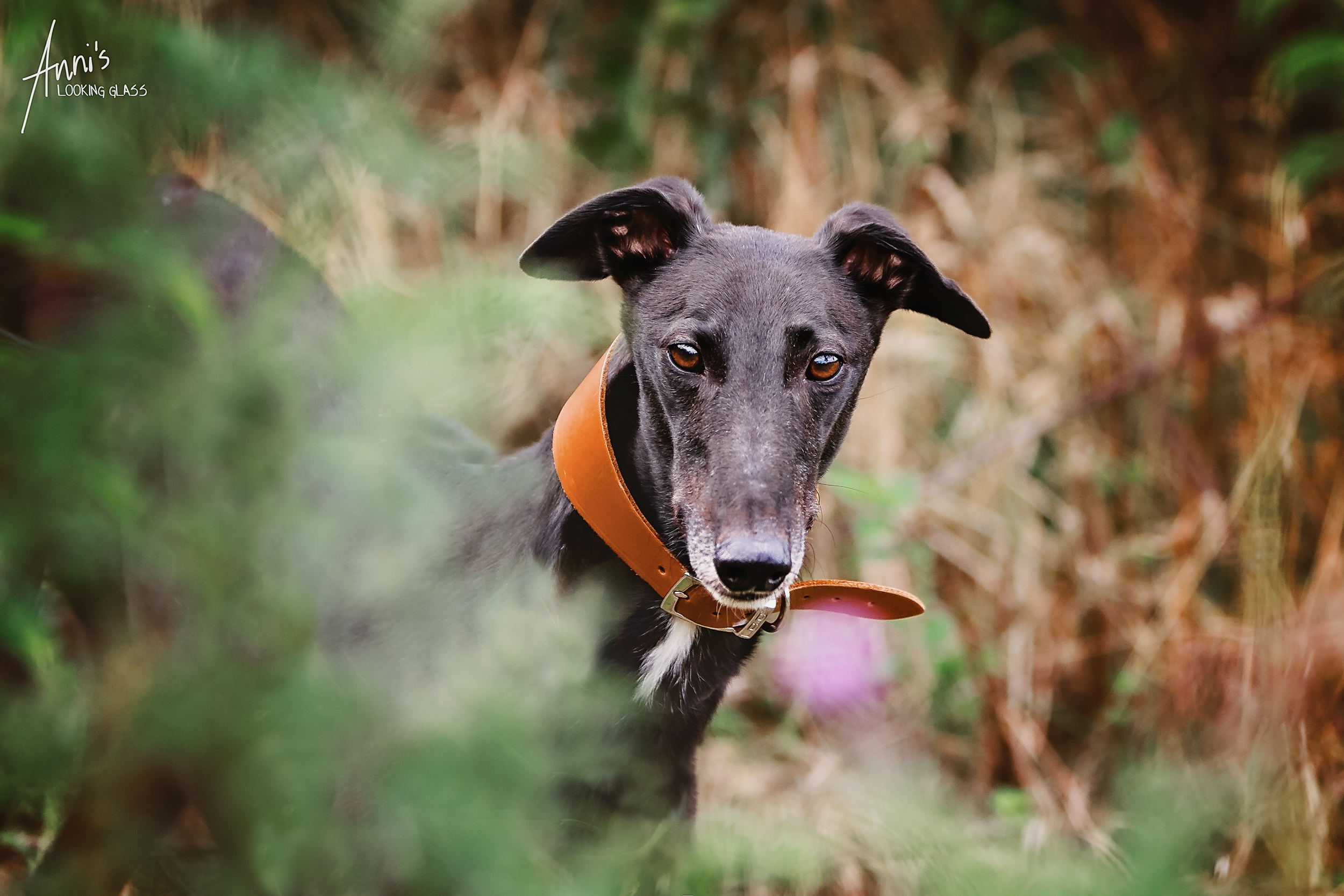 A black greyhound peeks out behind some bushes at the Dogs Trust Loughborough