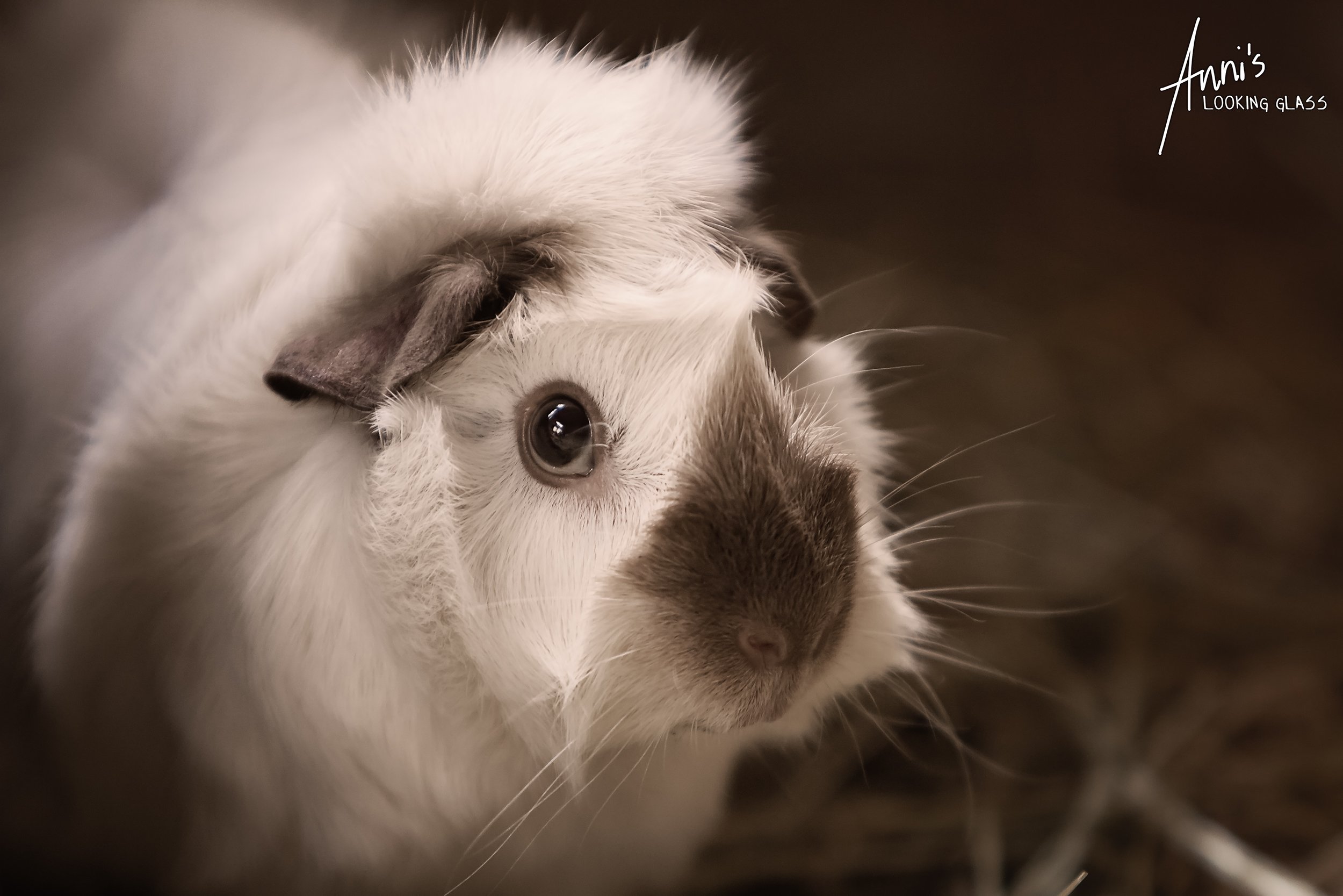Mostly white guinea pig with a brown nose