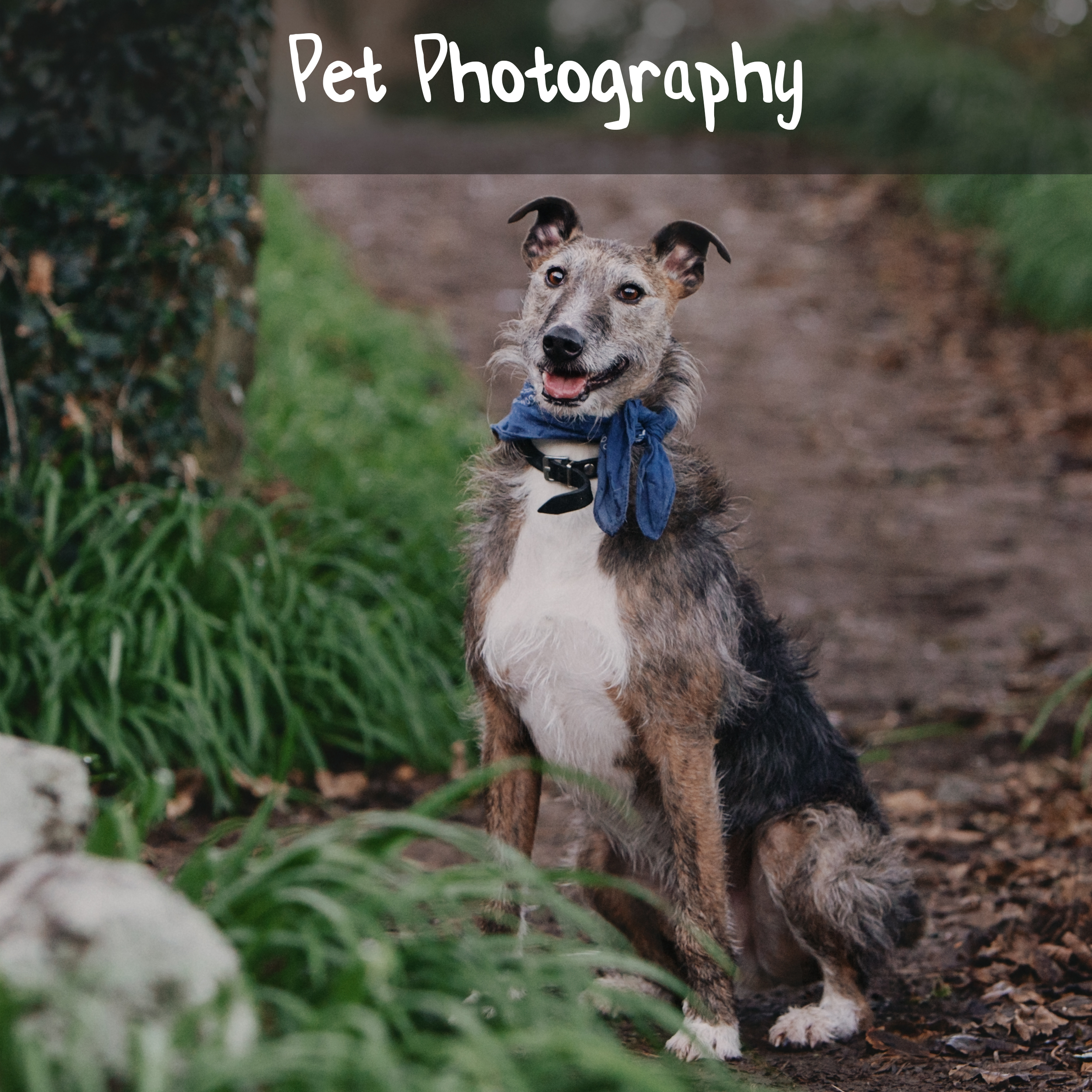 A greyhound wearing a blue bandana sitting on a path near the cliffs in Co. Waterford, Ireland