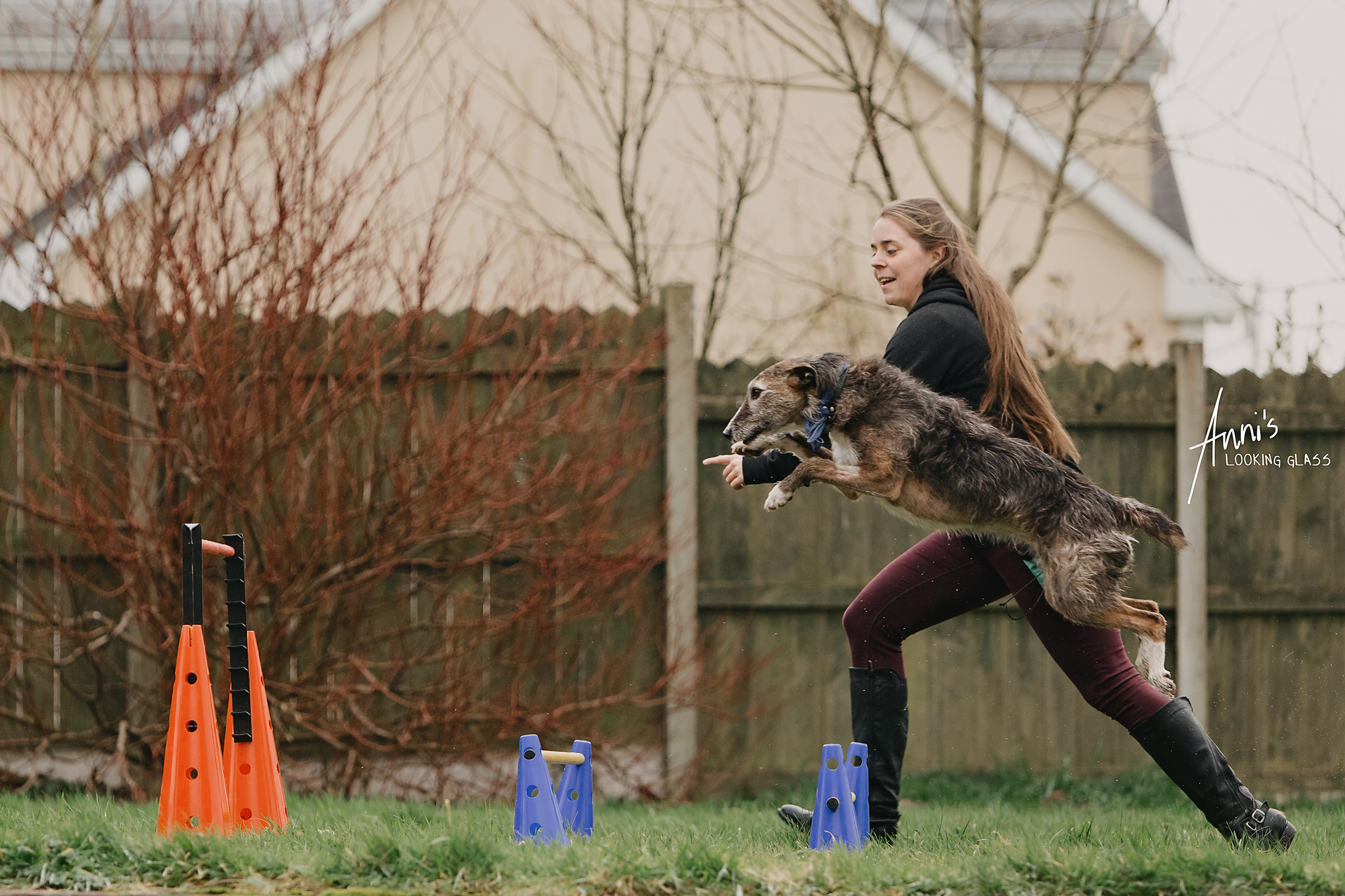 A young woman guides her greyhound across dog agility jumps