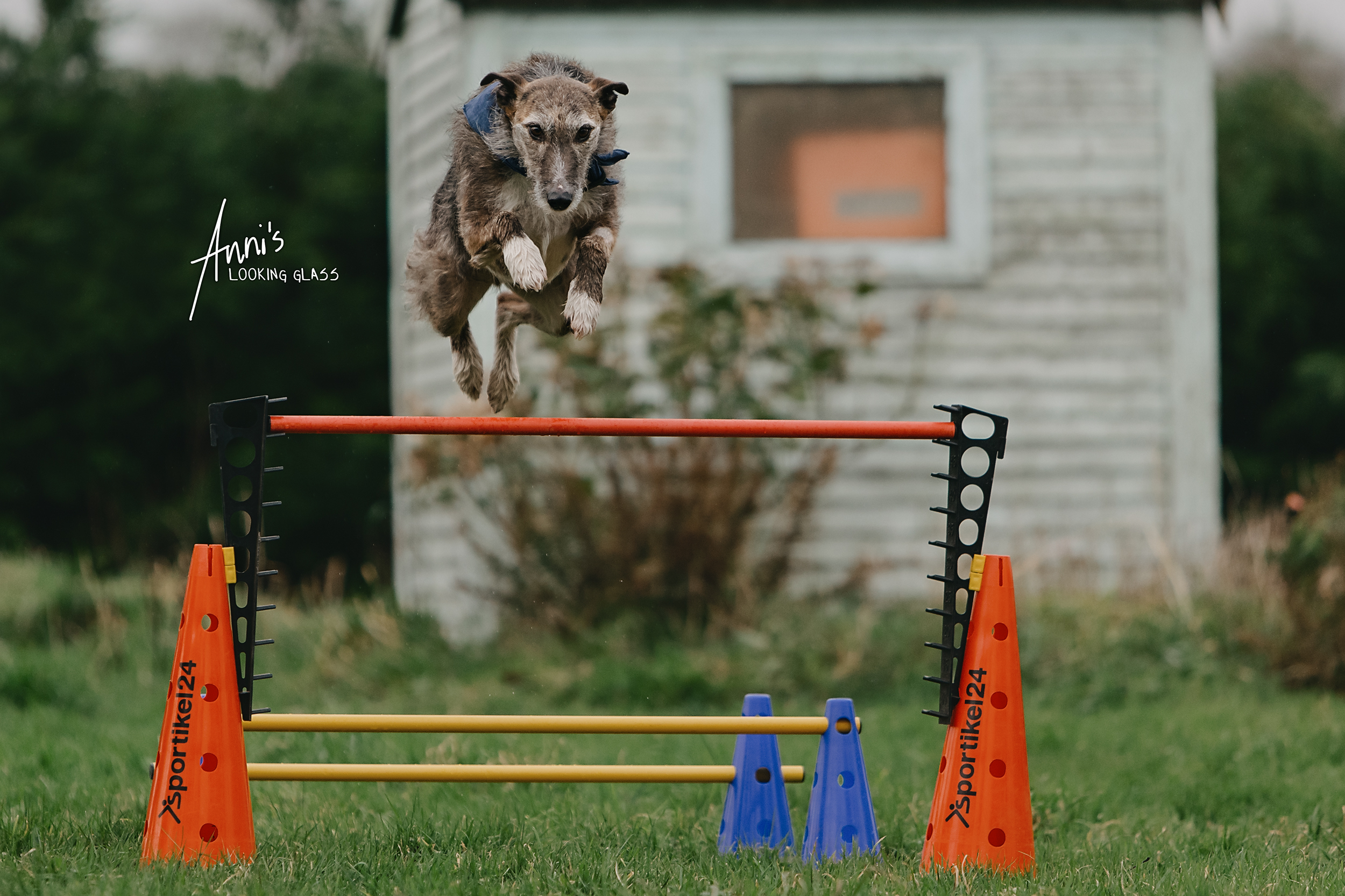 A sighthound takes a big leap across canine agility obstacles