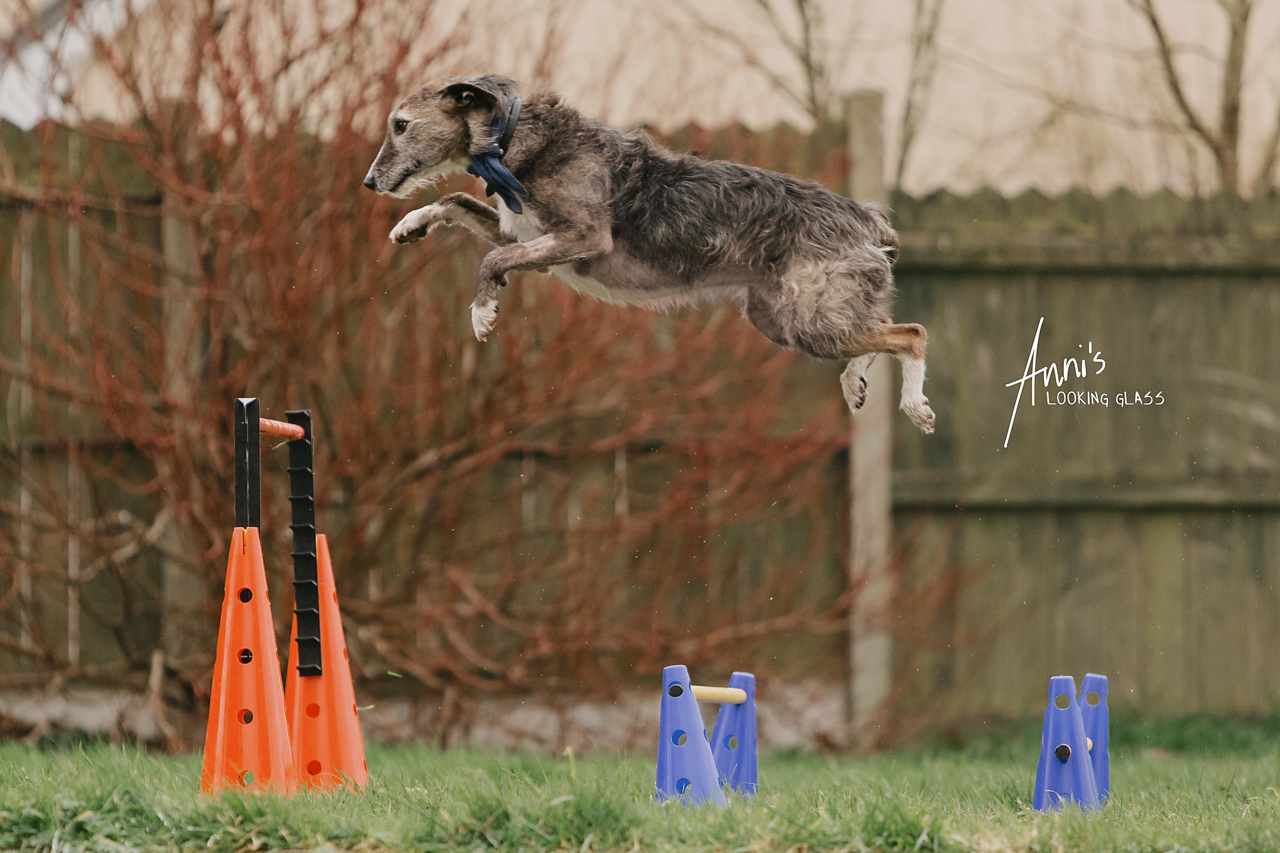 A greyound takes a big leap across canine agility obstacles