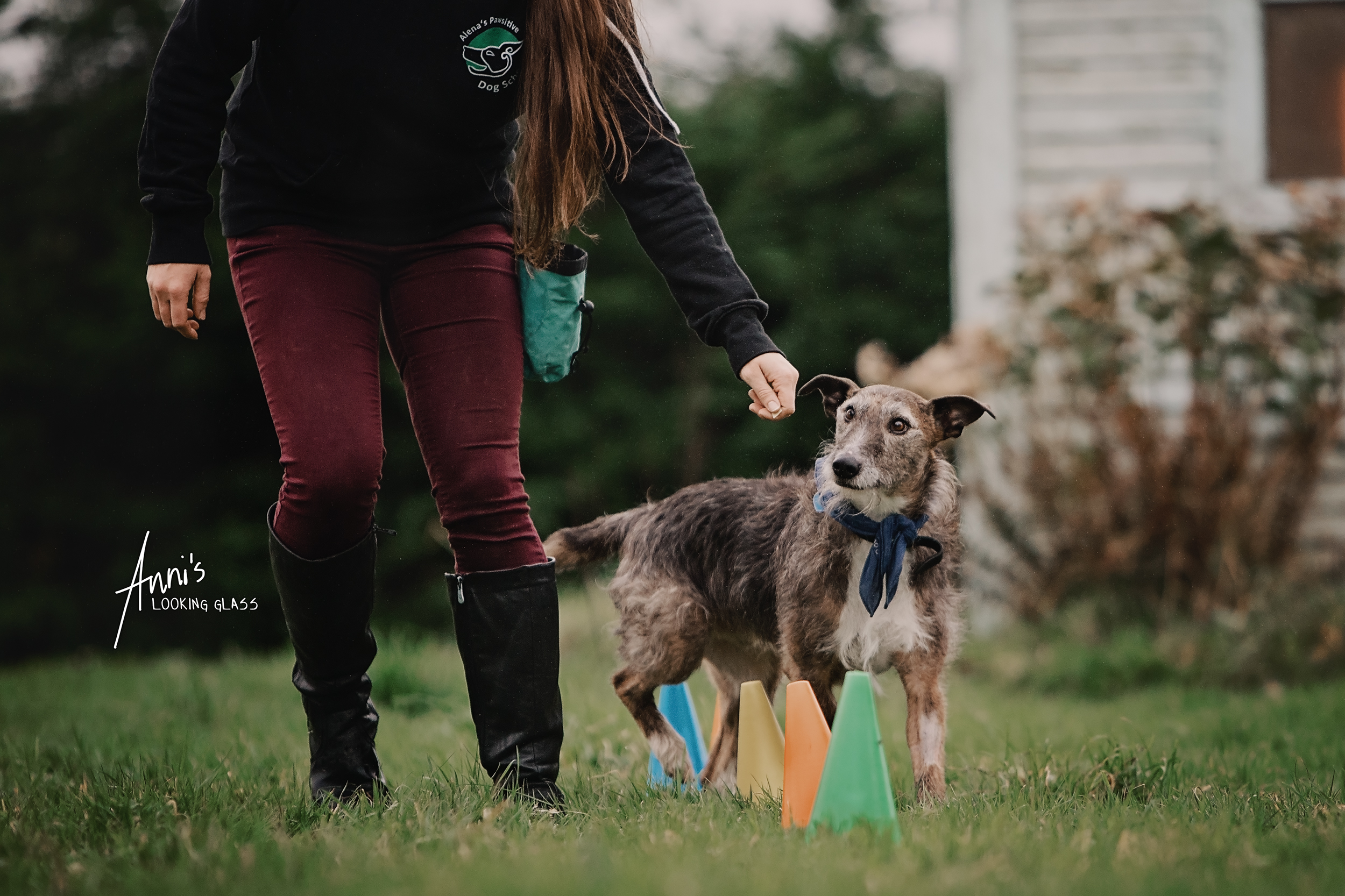 A young woman wearing a sweater branded with Alena's Pawsitive Dog School guides a greyhound through an agility parcours
