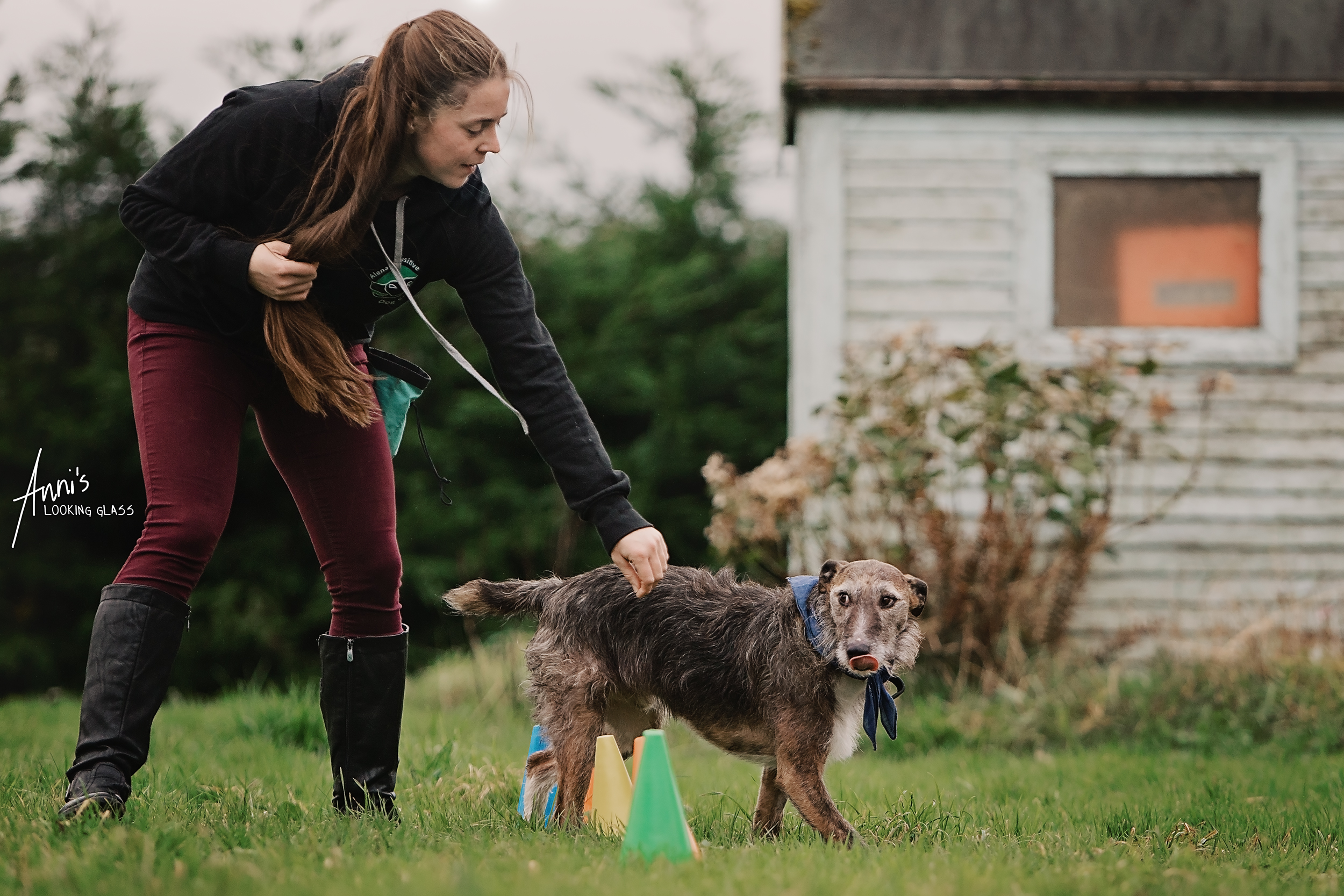 A greyhound licking his tongue while being guided through an agility course by ayoung woman wearing a sweater branded with Alena's Pawsitive Dog School