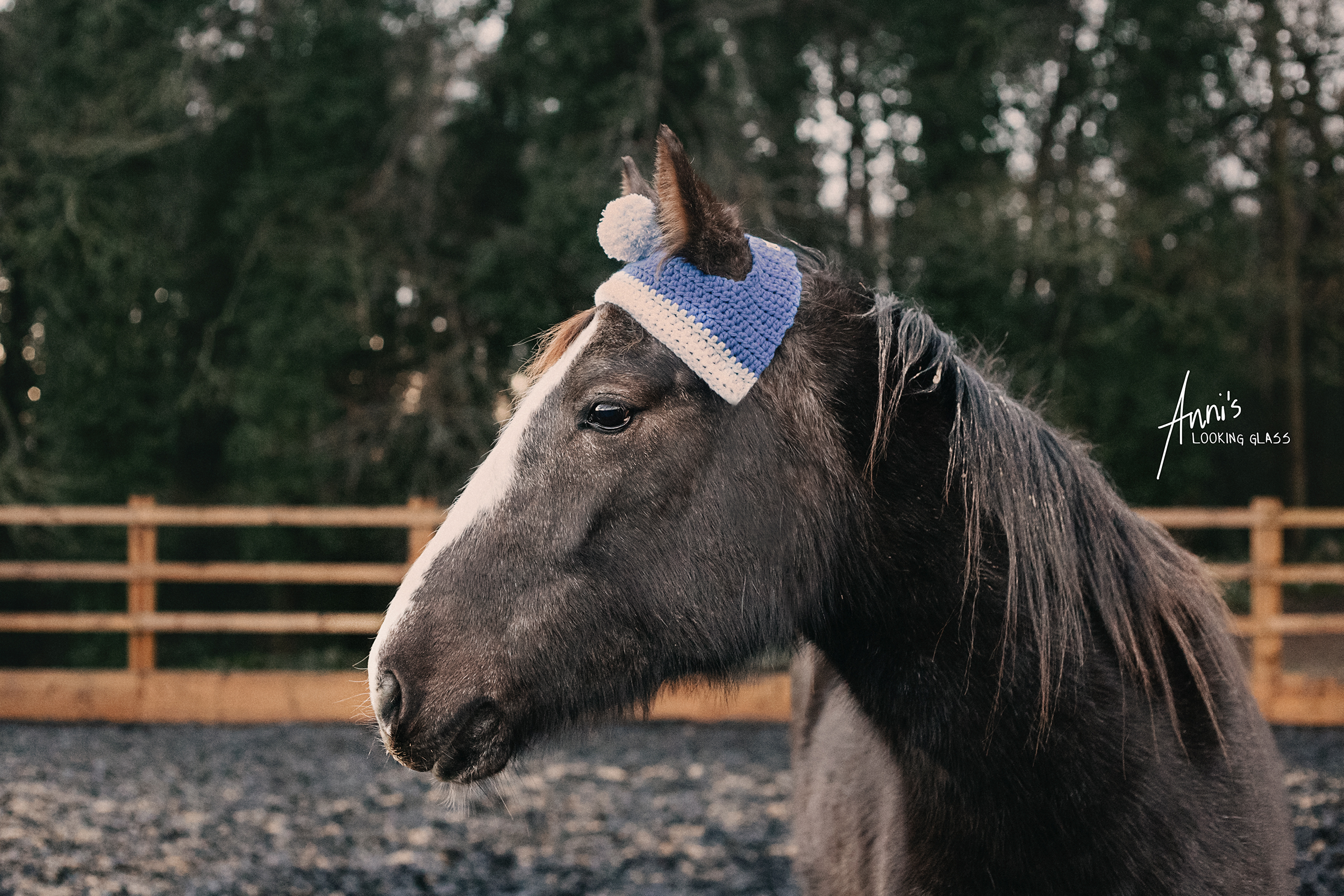 A strawberry roan Connermara Pony mix wearing a blue knitted hat