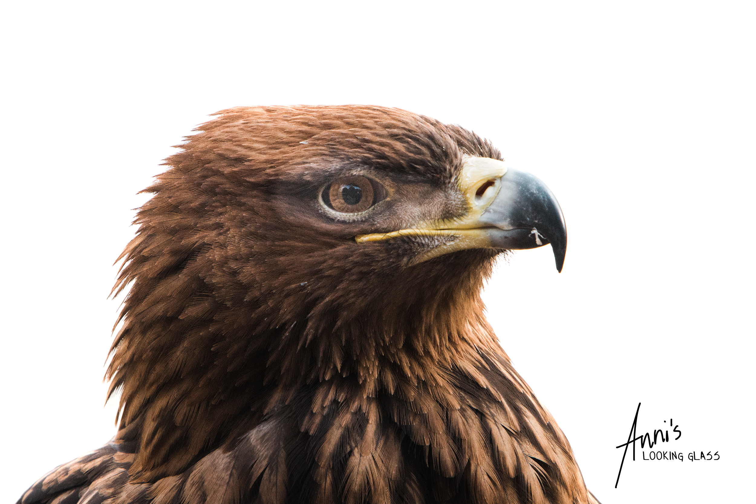 Portrait of an eagle on white background