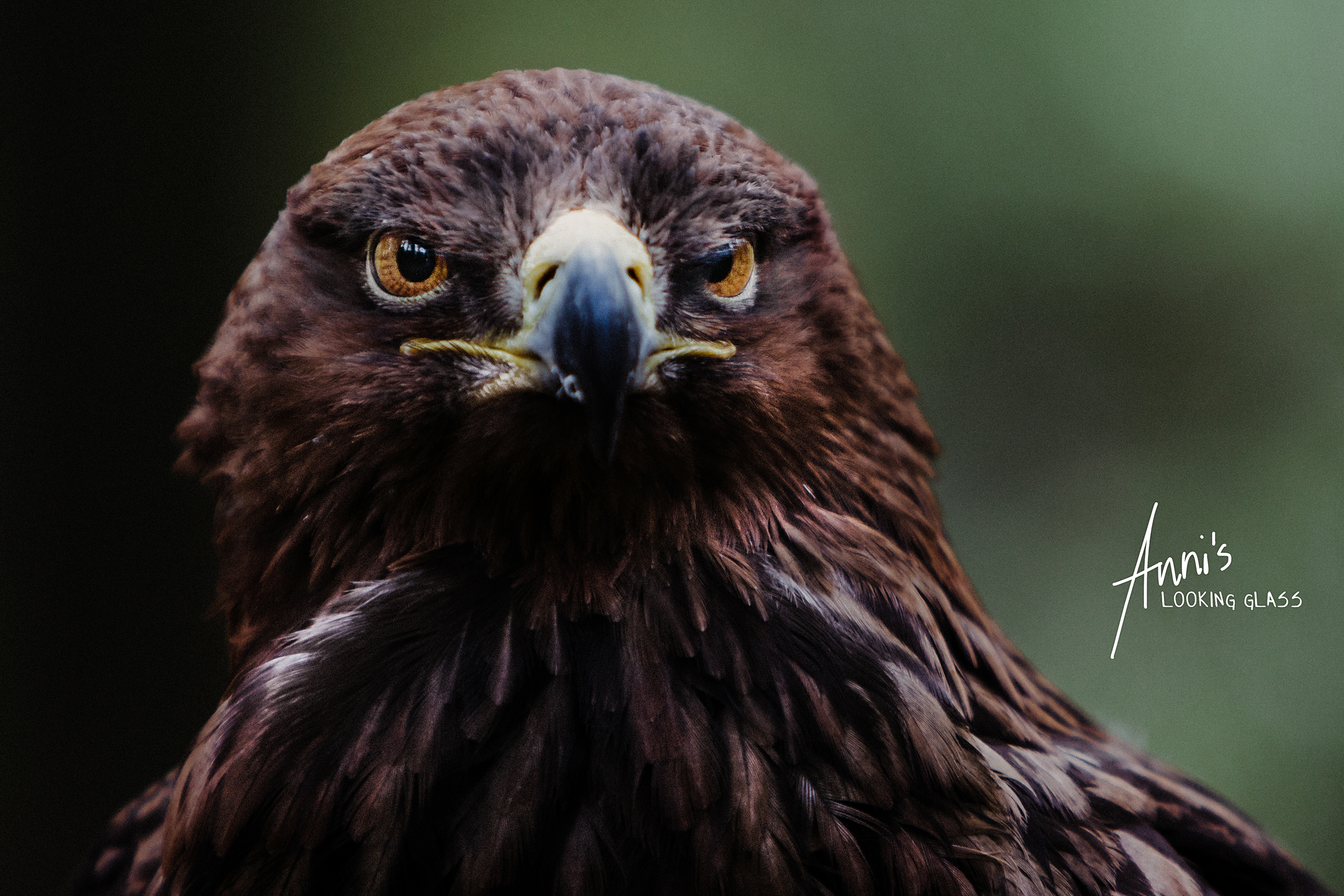 A Golden Eagle at Rosliston Forestry Centre in Derbyshire
