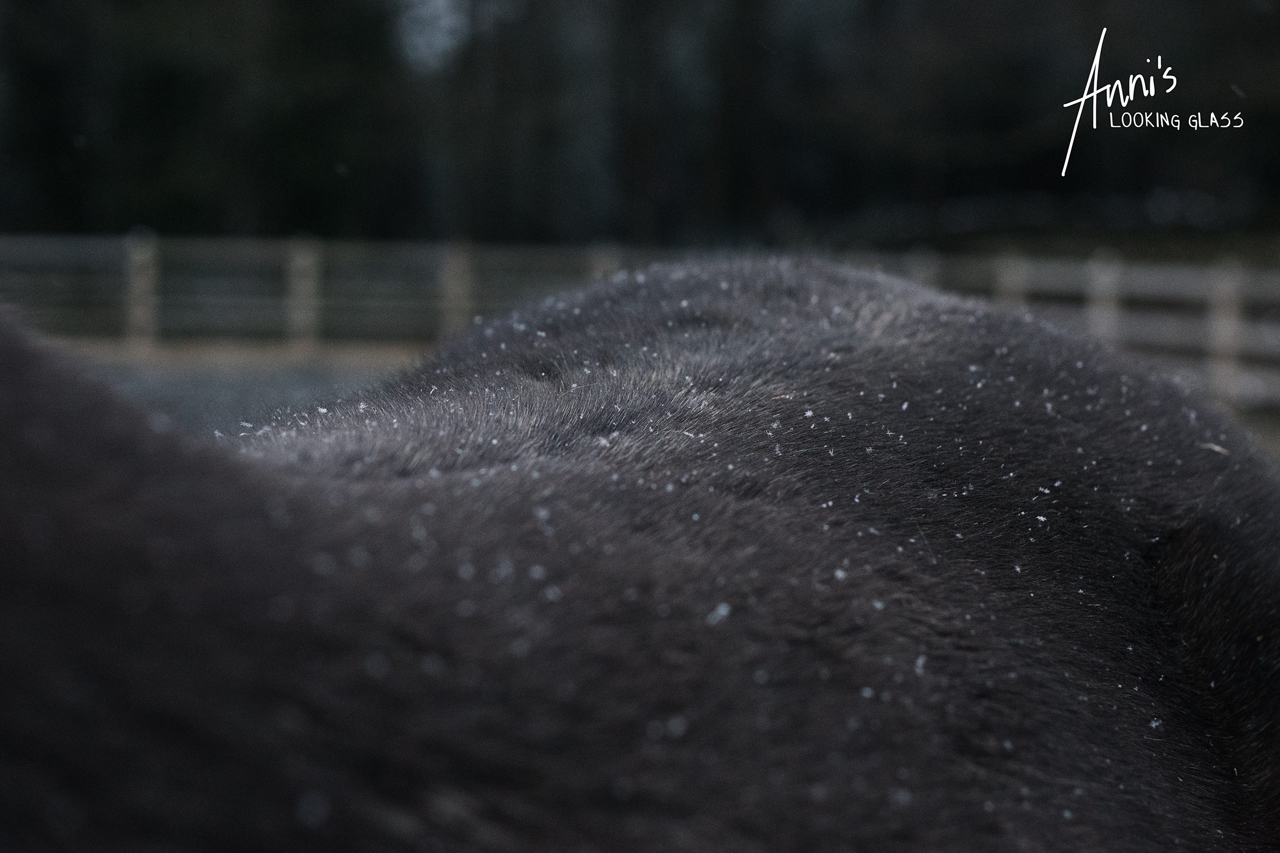 Snowflakes catching in a horse's fur