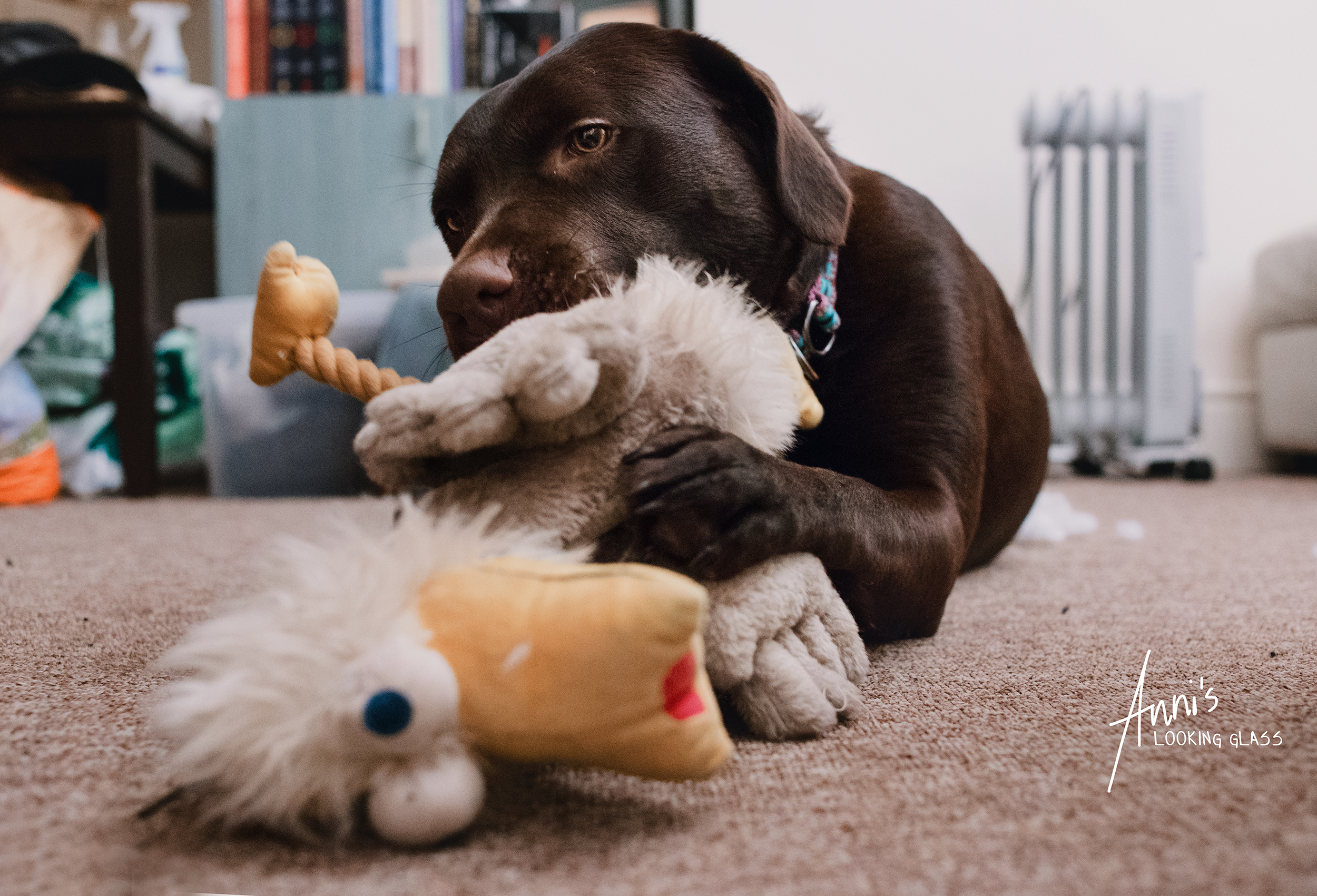 A Chocolate Labrador Retriever playing with a toy duck