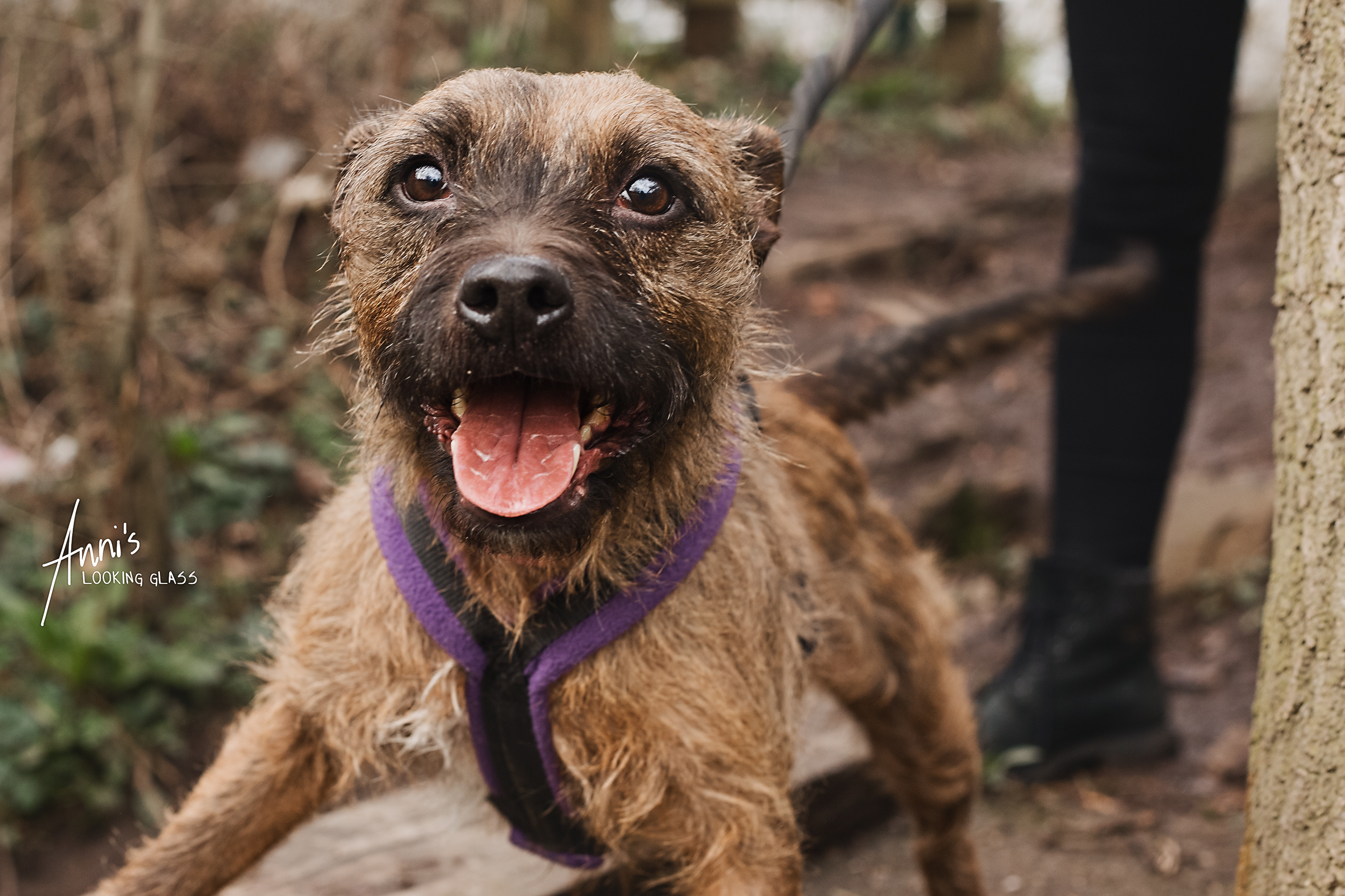 Dog photographer in Loughborough | A border terrier cross in a woodland near Hathern, Leicestershire | 6th March, 2018
