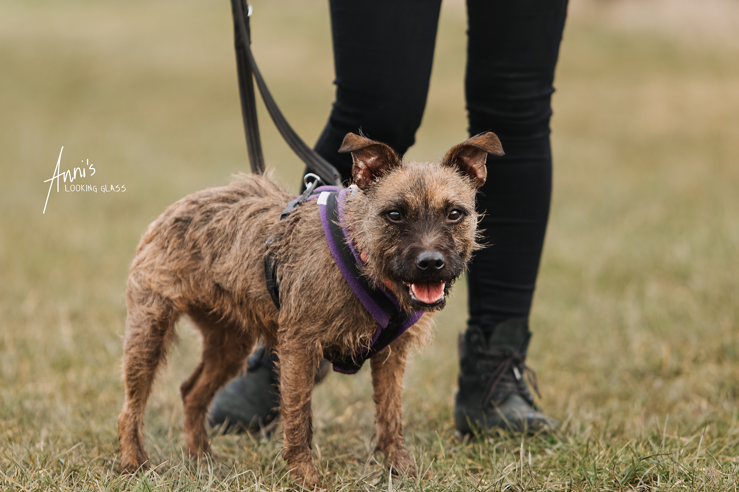 Dog photographer in Loughborough | A border terrier cross from College Garth Kennels near Hathern, Leicestershire | 6th March 2018