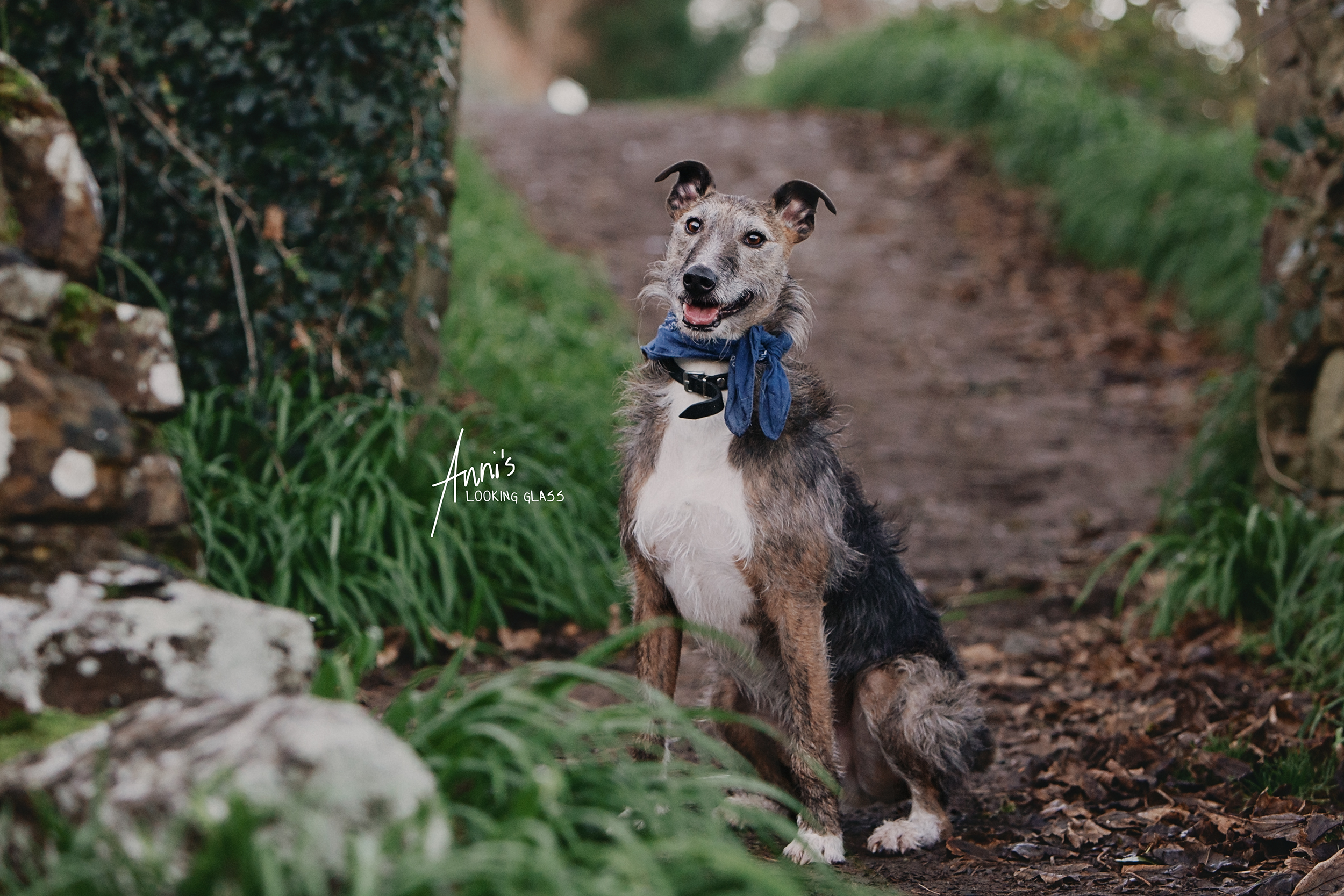 Dog Photographer Loughborough, Leicestershire: A greyhound wearing a blue bandana sitting on a footpath in Co. Waterford, Ireland. 24th April 2018