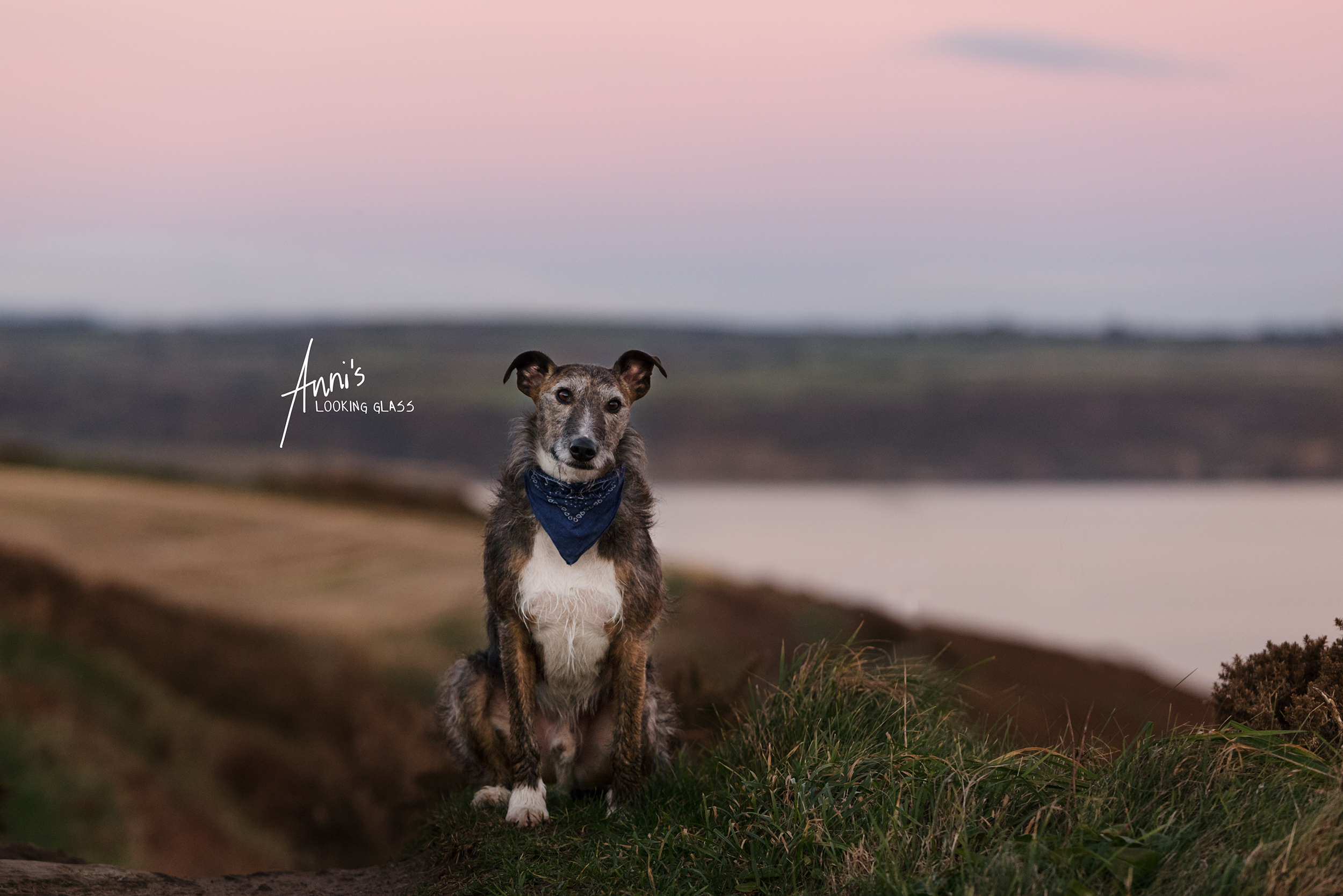 Dog Photographer Loughborough, Leicestershire: A greyhound wearing a blue bandana sitting in front of a coastal view in Co. Waterford, Ireland. 24th April 2018