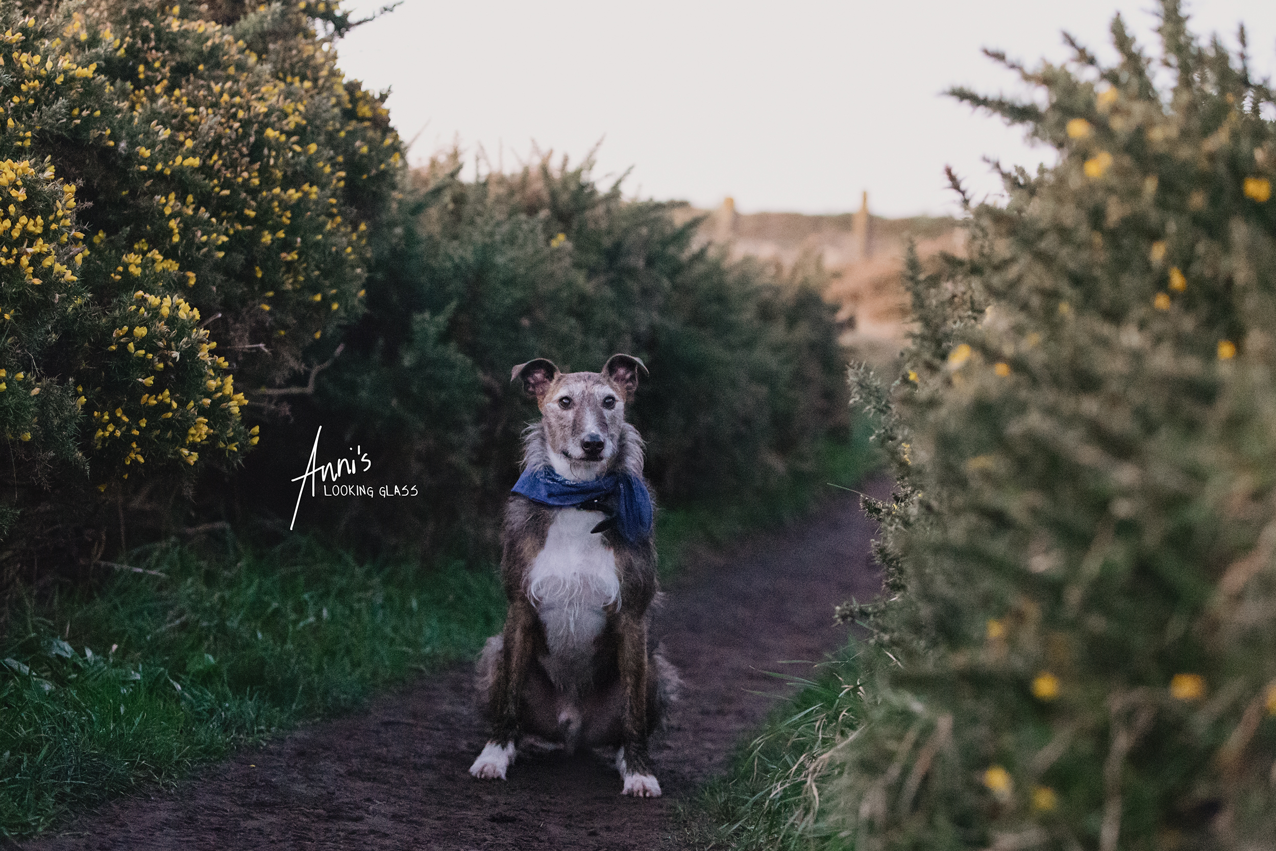 Dog Photographer Loughborough, Leicestershire: A greyhound wearing a blue bandana sitting among bushes with yellow blossoms in Co. Waterford, Ireland. 24th April 2018
