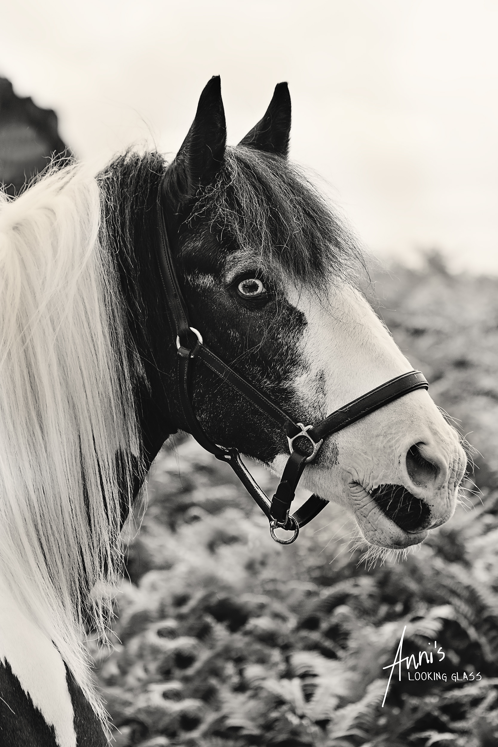 Bradgate Park, Newton Linford, Leicestershire: Monochrome portrait of a piebald gypsy vanner horse. 2nd July, 2017