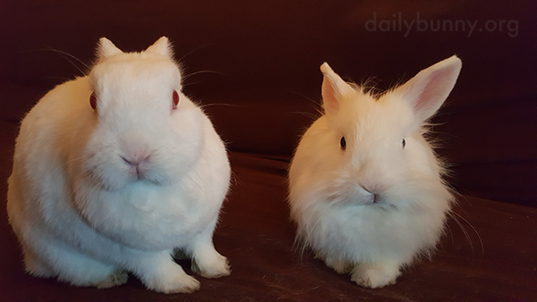 Bunnies Can Intimidate Human into Anything