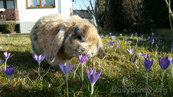 Bunny Takes a Moment to Check Out the Crocuses