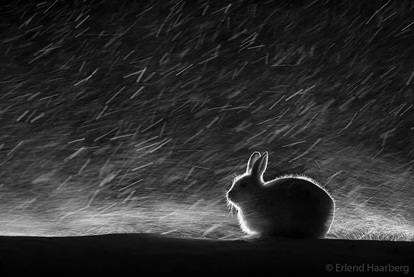Wild Bunny Can Withstand Harsh Norwegian Weather