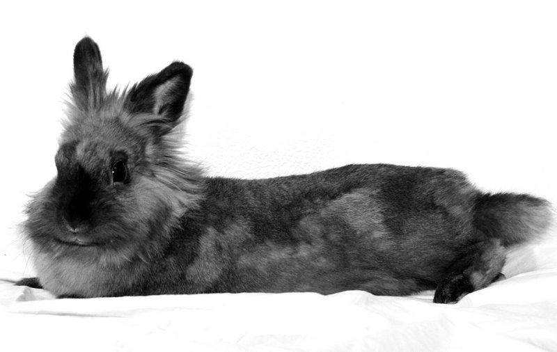Lionhead Portrait