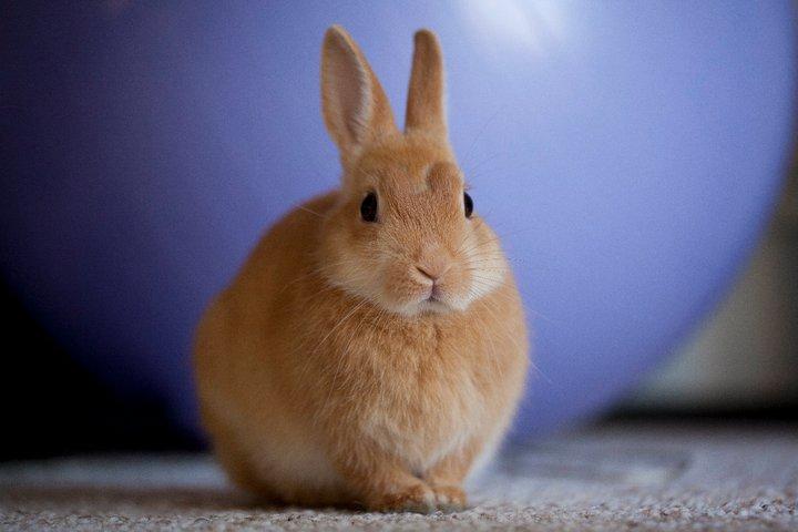 Round Orange Bunny is Round and Orange